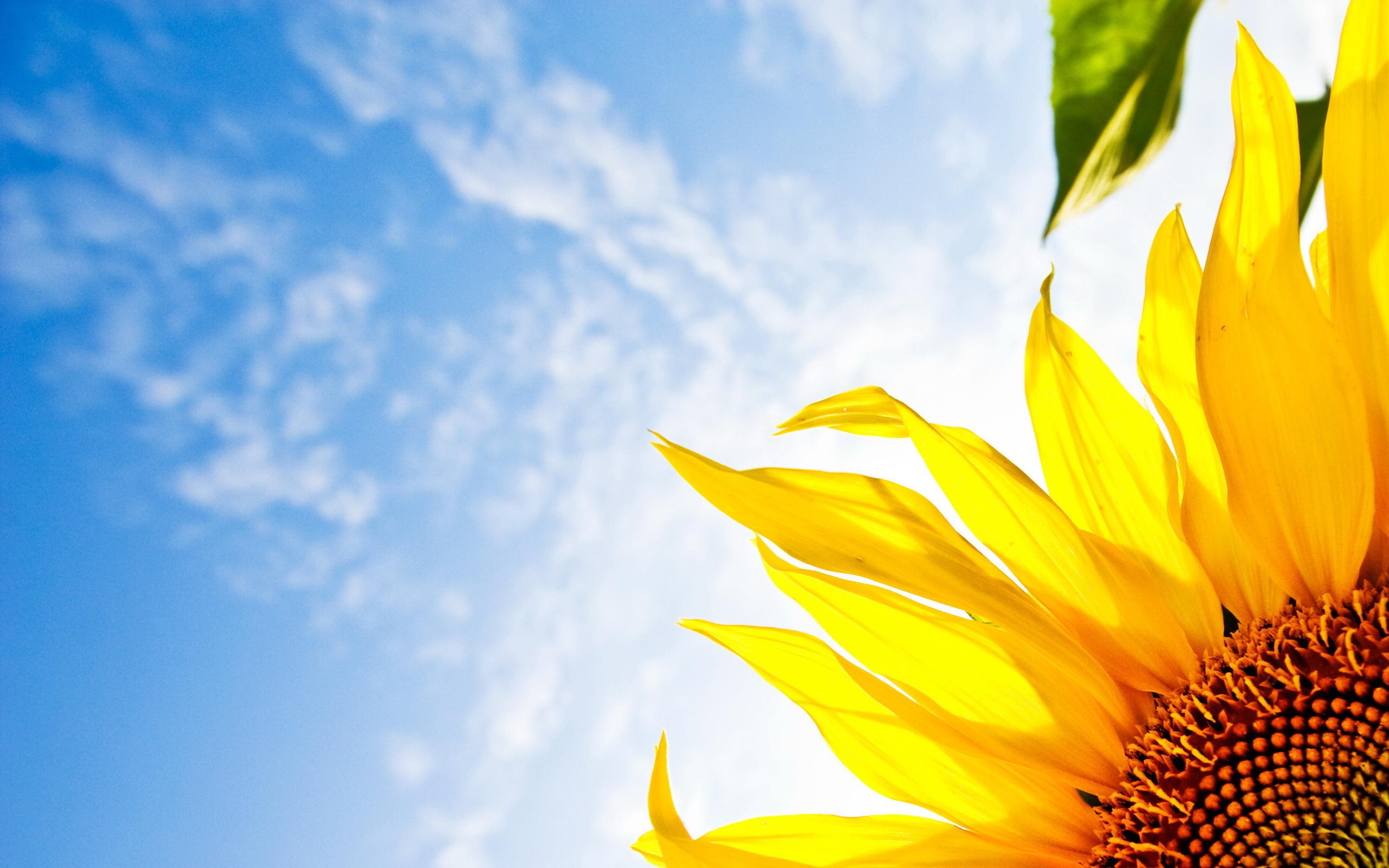 13216 免費下載壁紙 植物, 向日葵 屏保和圖片