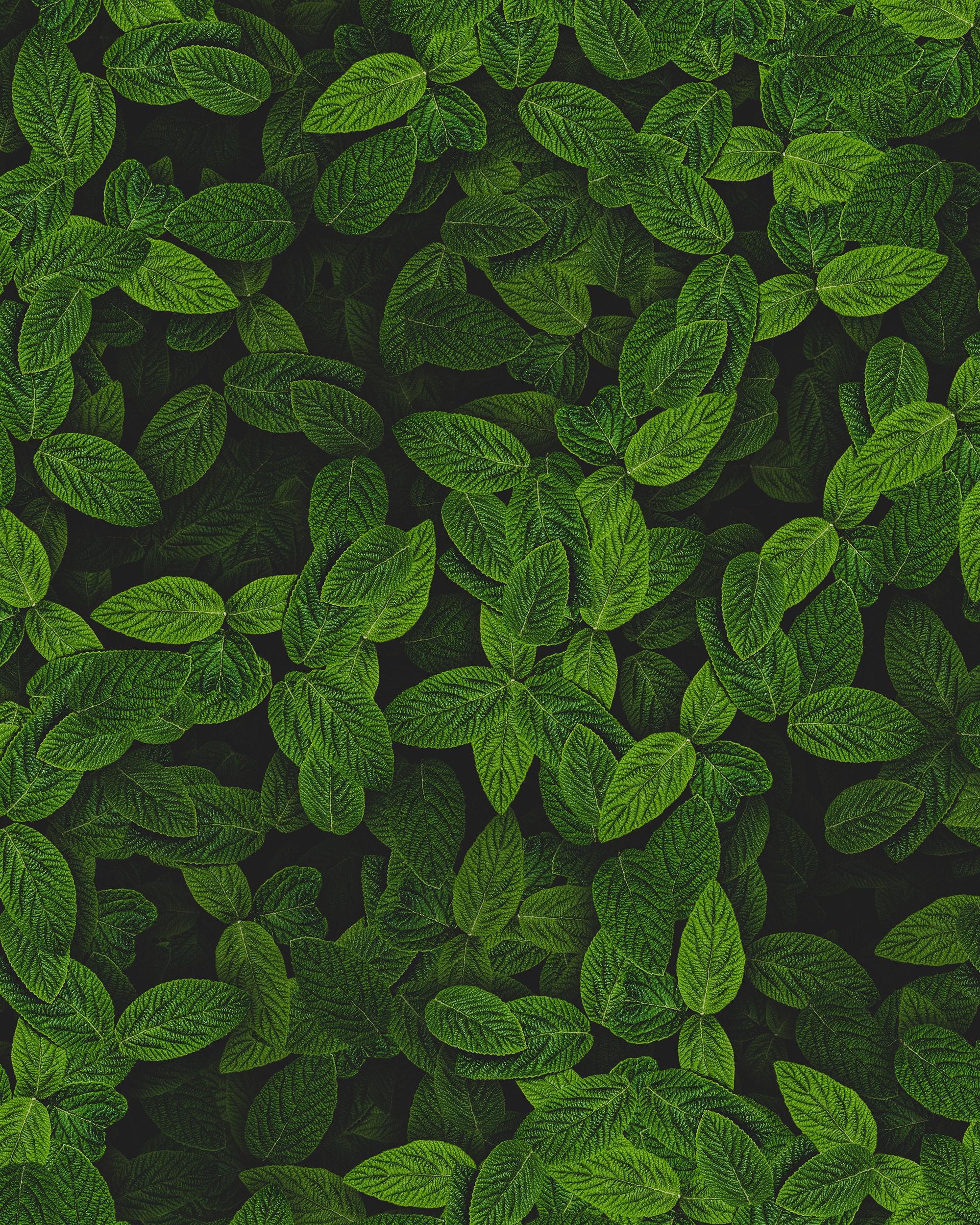 89498 скачать обои Разное, Мята, Листья, Растение, Кусты - заставки и картинки бесплатно