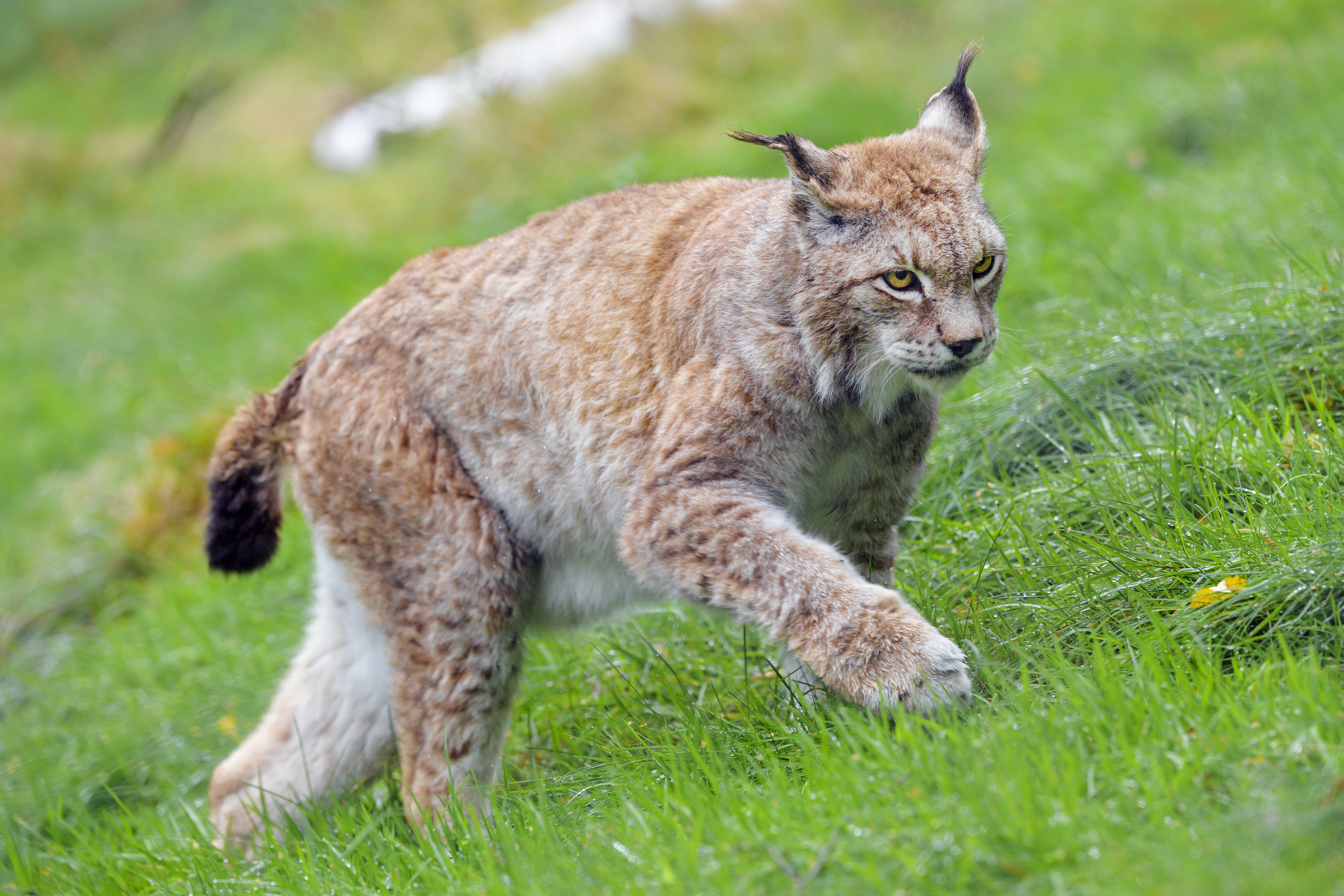 72778 download wallpaper Animals, Iris, Big Cat, Animal, Grass, Wildlife screensavers and pictures for free