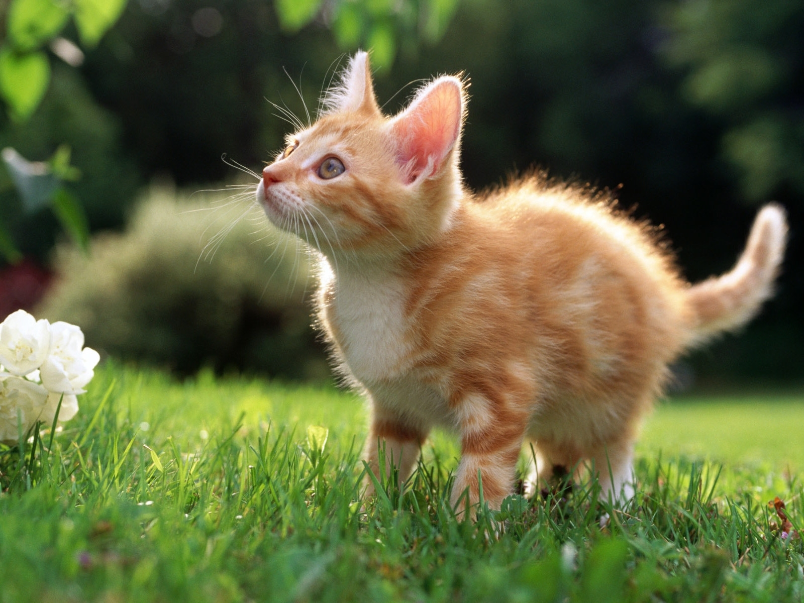 6836 download wallpaper Animals, Cats screensavers and pictures for free
