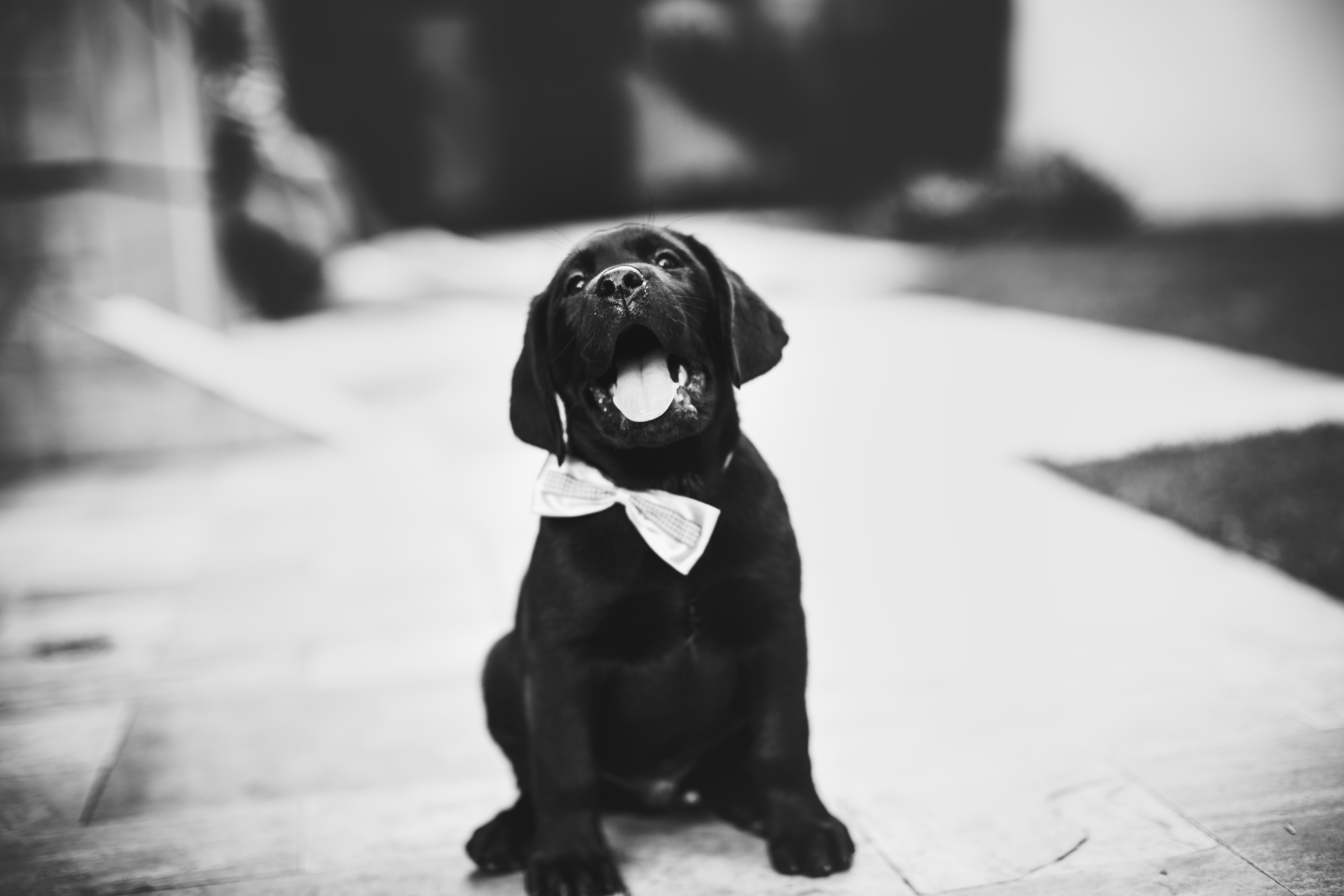 57491 download wallpaper Animals, Puppy, Dog, Bw, Chb, Bow Tie, Butterfly Tie screensavers and pictures for free