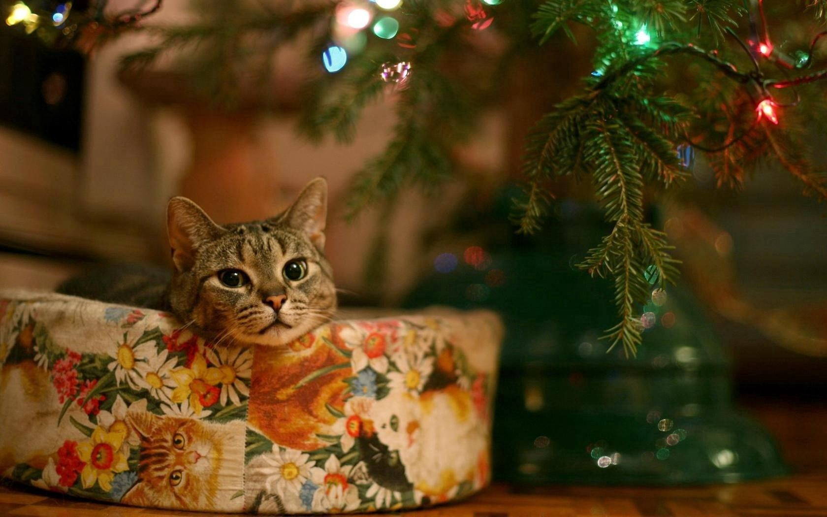 109954 download wallpaper Animals, Cat, Box, Christmas, Sit, Muzzle screensavers and pictures for free