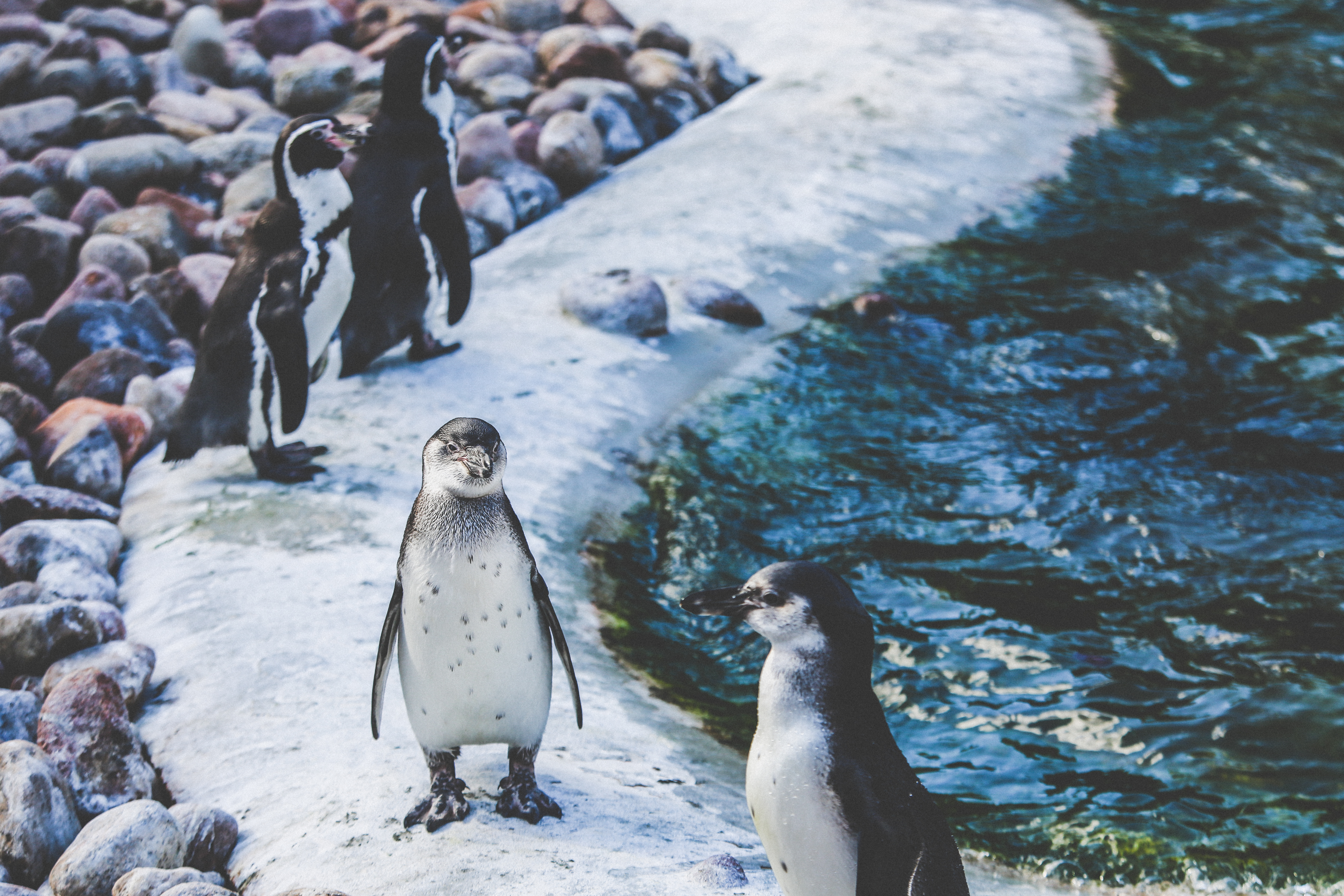 152928 download wallpaper Animals, Shore, Bank, Birds, Pinguins screensavers and pictures for free