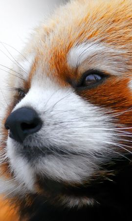 156451 download wallpaper Animals, Red Panda, Muzzle, Wool screensavers and pictures for free