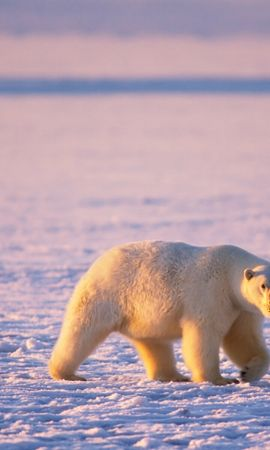 45509 baixar papel de parede Animais, Bears - protetores de tela e imagens gratuitamente