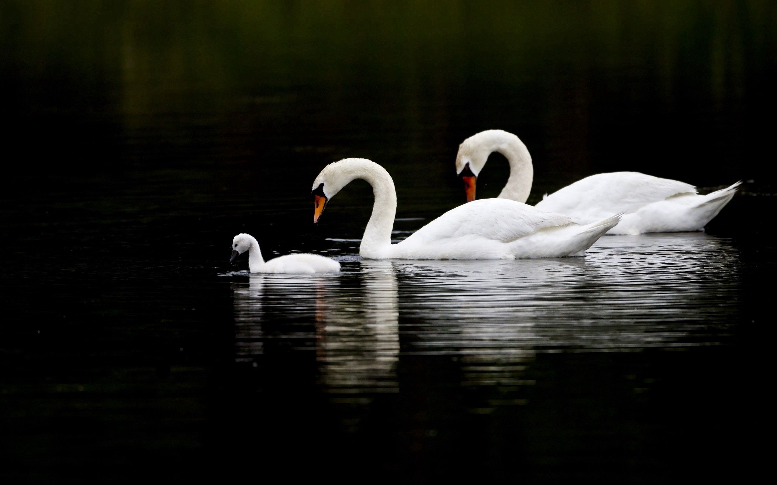106888 download wallpaper Animals, Swans, Water, To Swim, Swim, Reflection screensavers and pictures for free