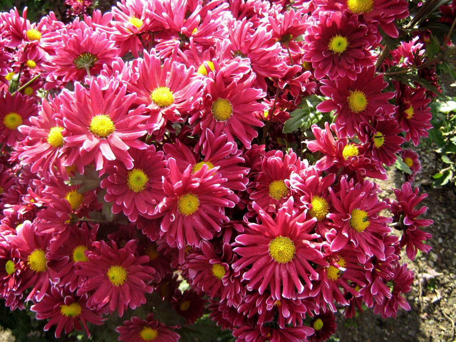 135043 скачать обои Цветы, Сад, Красота, Хризантемы - заставки и картинки бесплатно