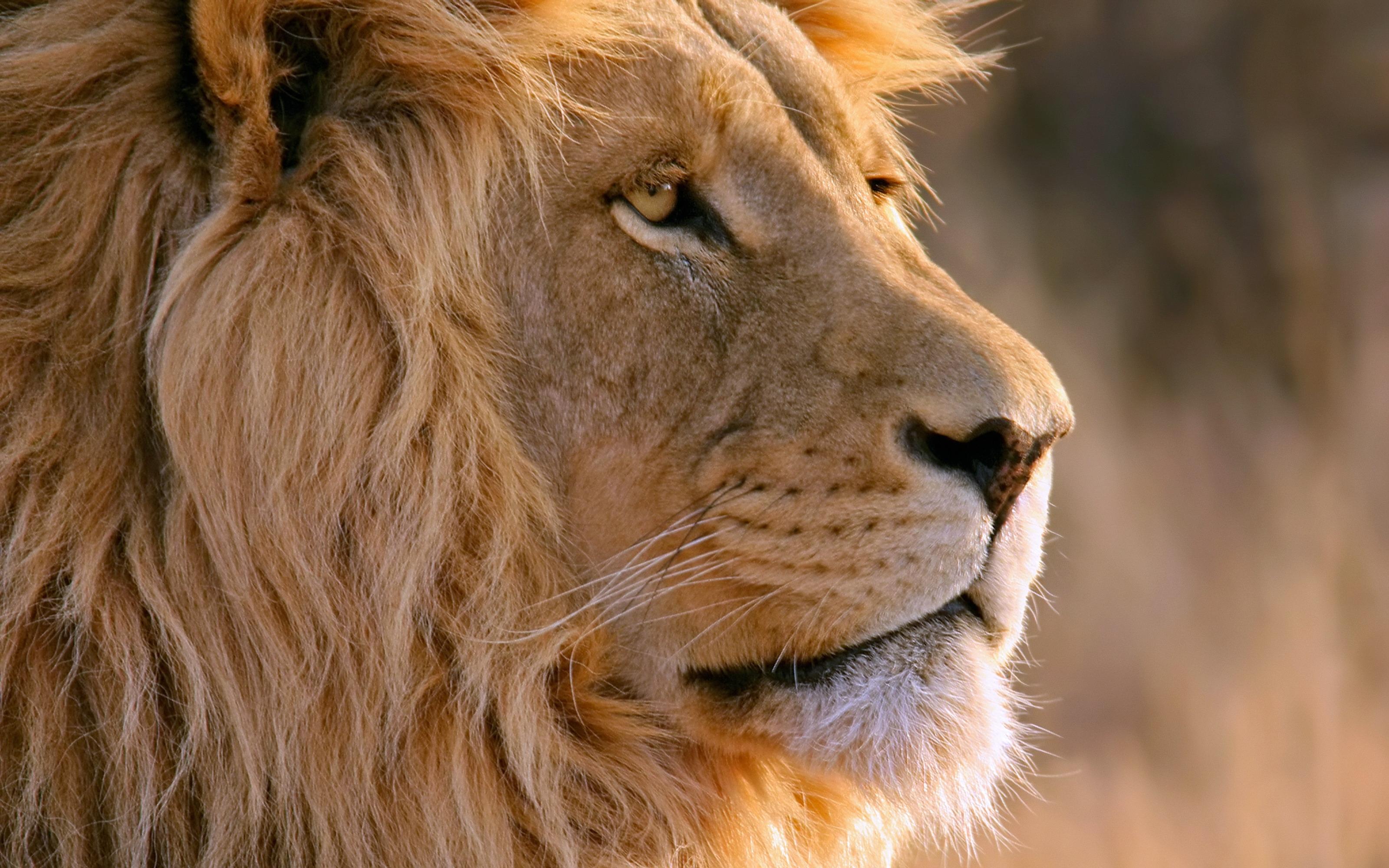 130843 Protetores de tela e papéis de parede Leão em seu telefone. Baixe Animais, Leão, Focinho, Um Leão, Predator, Predador, Juba fotos gratuitamente