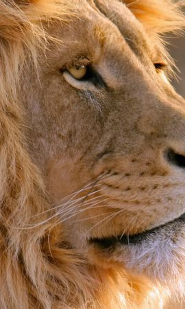130843 download wallpaper Animals, Lion, Muzzle, Mane, Predator screensavers and pictures for free