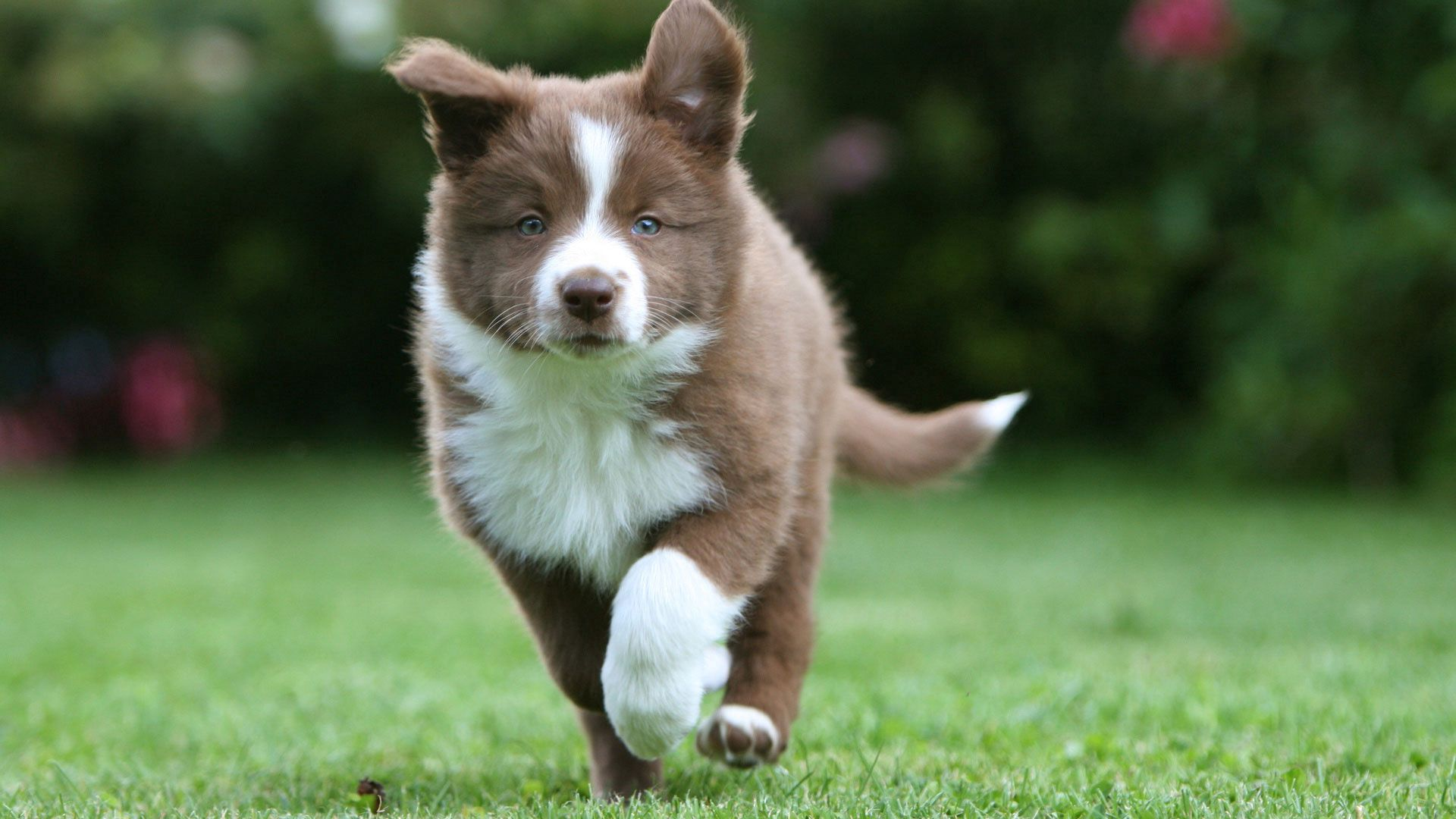 119452 download wallpaper Animals, Border Collie, Puppy, Run, Running, Grass screensavers and pictures for free