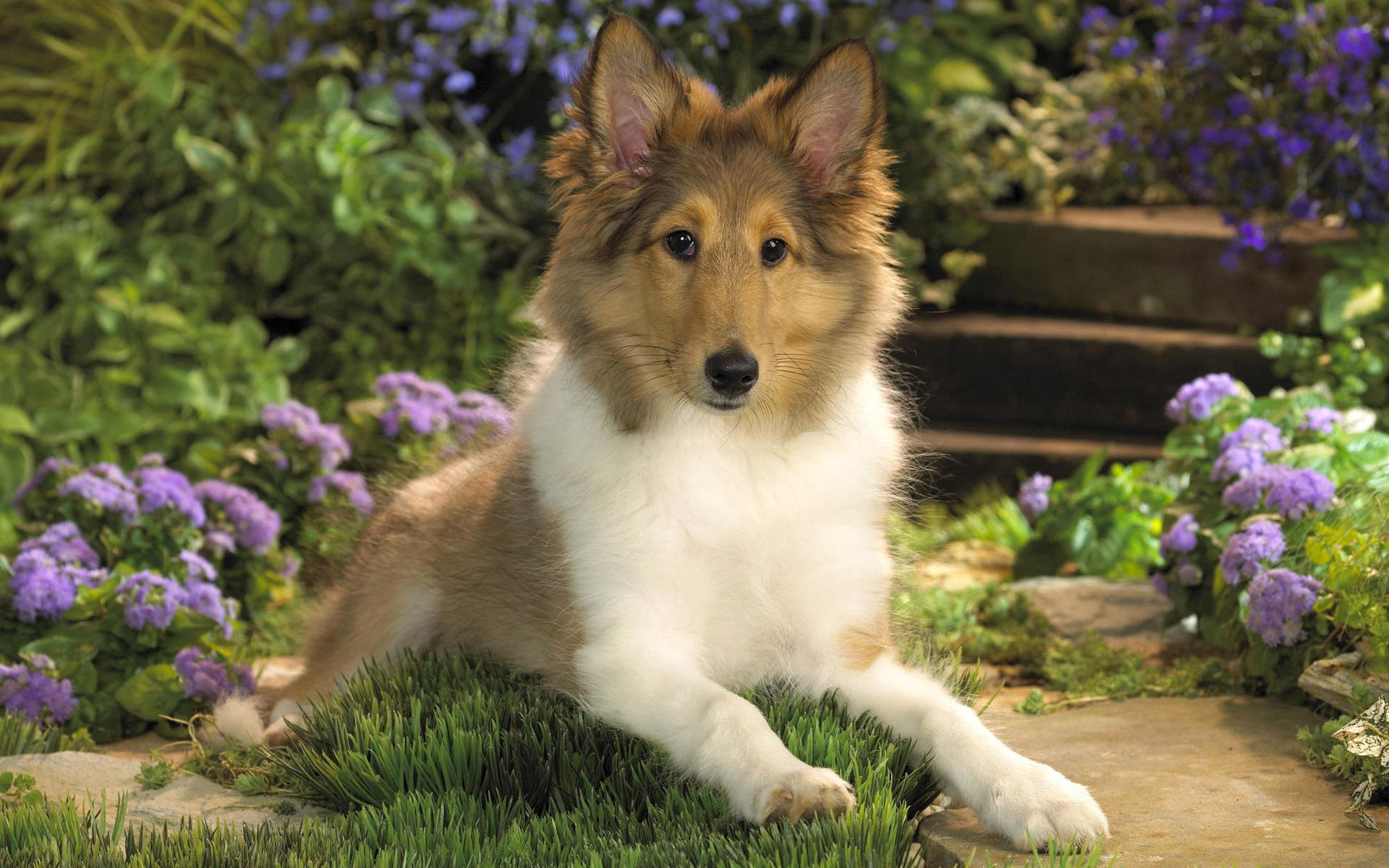 108851 download wallpaper Animals, Dog, Collie, Puppy, To Lie Down, Lie, Flowers screensavers and pictures for free