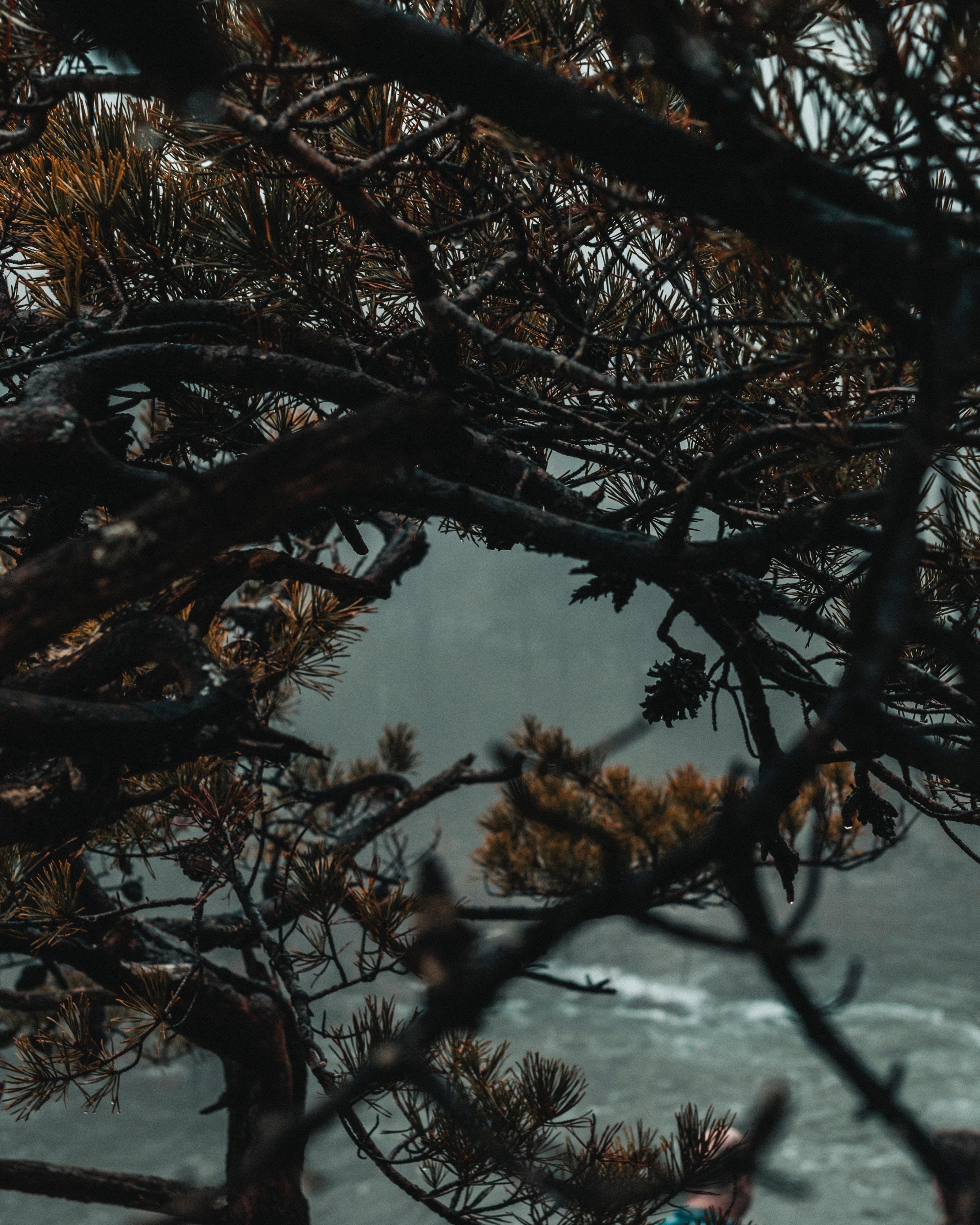 106453 Заставки и Обои Иголки на телефон. Скачать Природа, Иголки, Дерево, Туман, Ветки картинки бесплатно