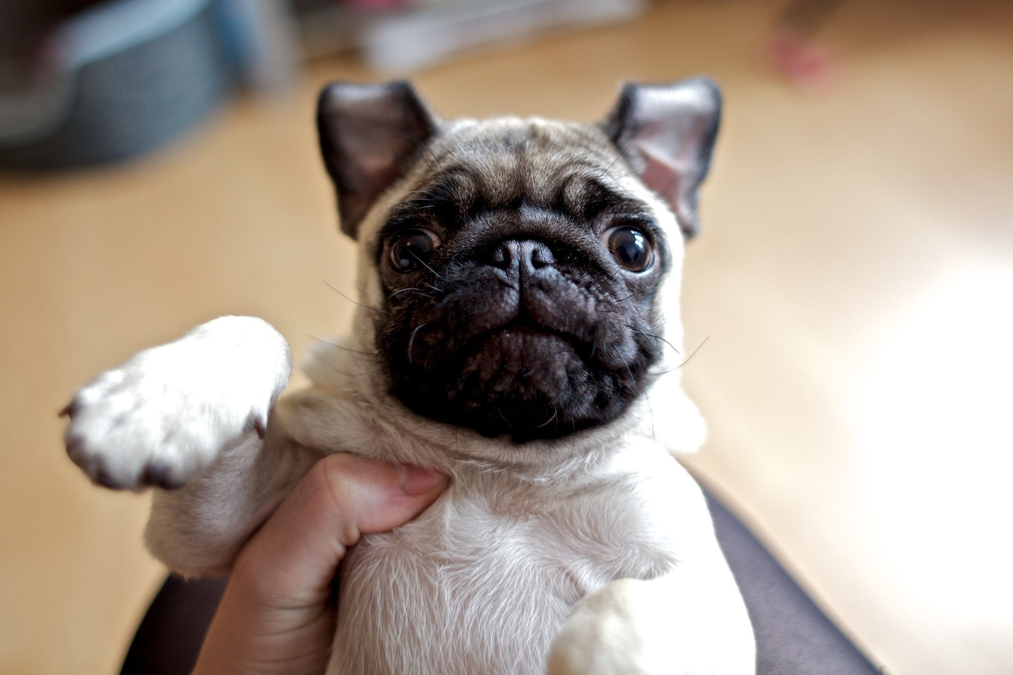 108903 download wallpaper Animals, Dog, Pug, Muzzle, Sight, Opinion, Kid, Tot screensavers and pictures for free