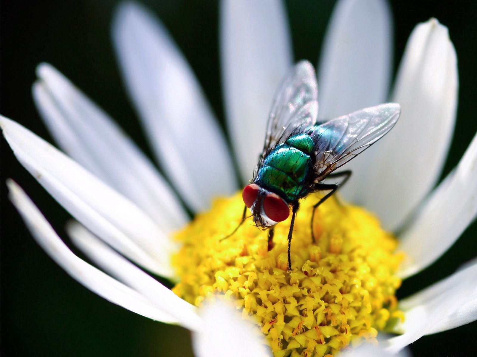 157450 download wallpaper Macro, Fly, Chamomile, Camomile, Flower, Wings, Petals screensavers and pictures for free