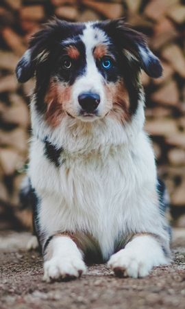 154542 download wallpaper Animals, Dog, Heterochromia, Pet, Animal, Sight, Opinion screensavers and pictures for free