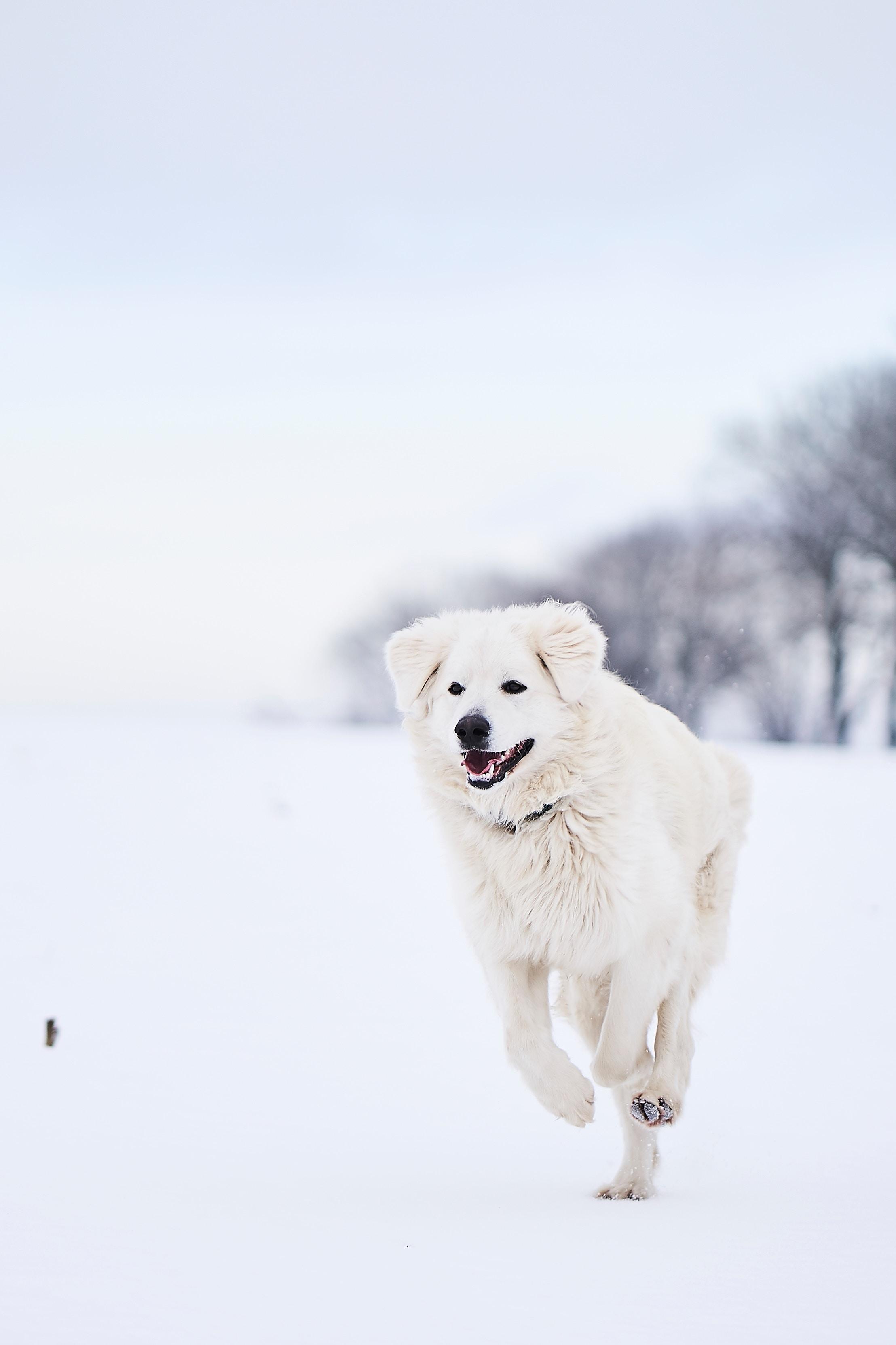 134024 download wallpaper Animals, Pyrenean Mountain Dog, Iberian Mountain Dog, Big Pyrenees, Great Piraeus, Dog, Snow, Run, Running screensavers and pictures for free