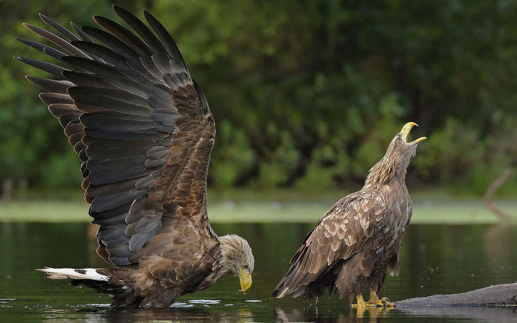 109116 download wallpaper Animals, Water, Couple, Pair, Predators, Birds, Eagles screensavers and pictures for free