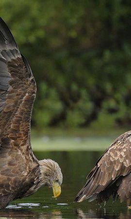 109116 baixar papel de parede Animais, Água, Casal, Par, Predadores, Aves, Eagles - protetores de tela e imagens gratuitamente
