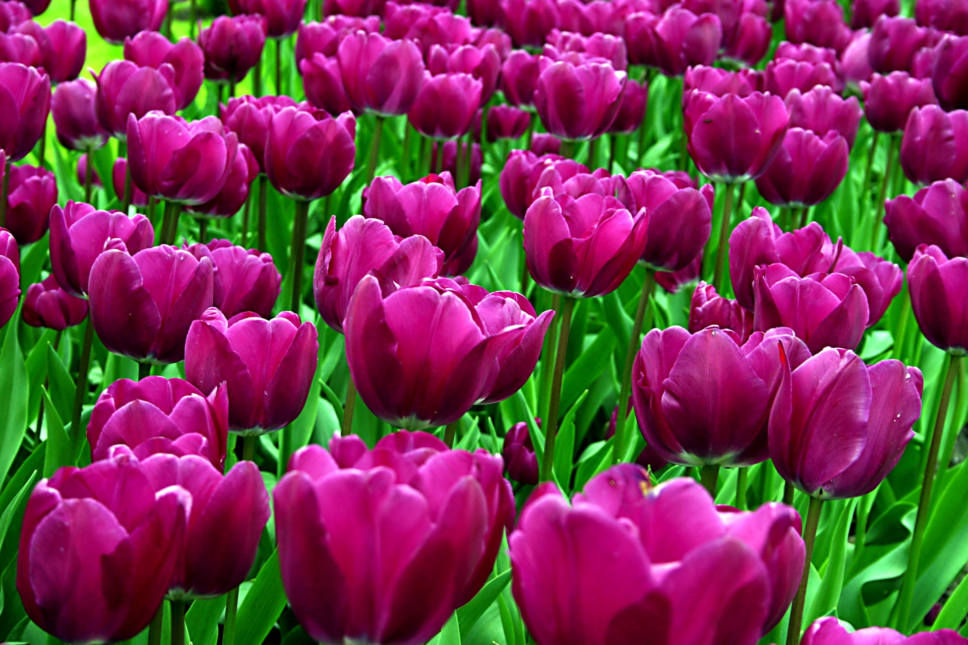 148194 скачать обои Распущенные, Цветы, Тюльпаны, Клумба, Солнечно - заставки и картинки бесплатно