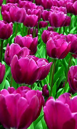 148194 скачать Фиолетовые обои на телефон бесплатно, Цветы, Клумба, Распущенные, Солнечно, Тюльпаны Фиолетовые картинки и заставки на мобильный