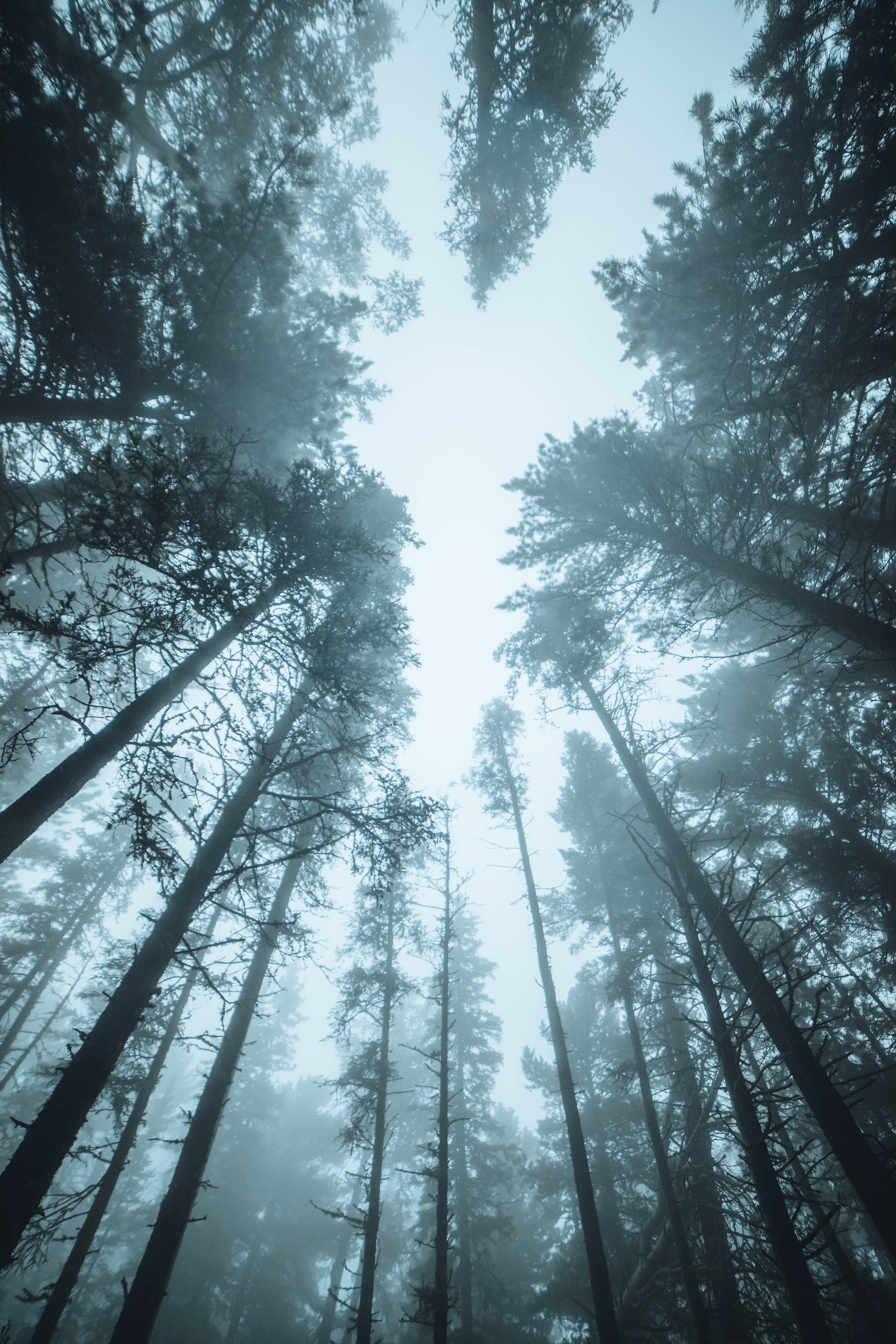 86004 скачать обои Природа, Лес, Деревья, Туман, Верхушки, Сосны - заставки и картинки бесплатно