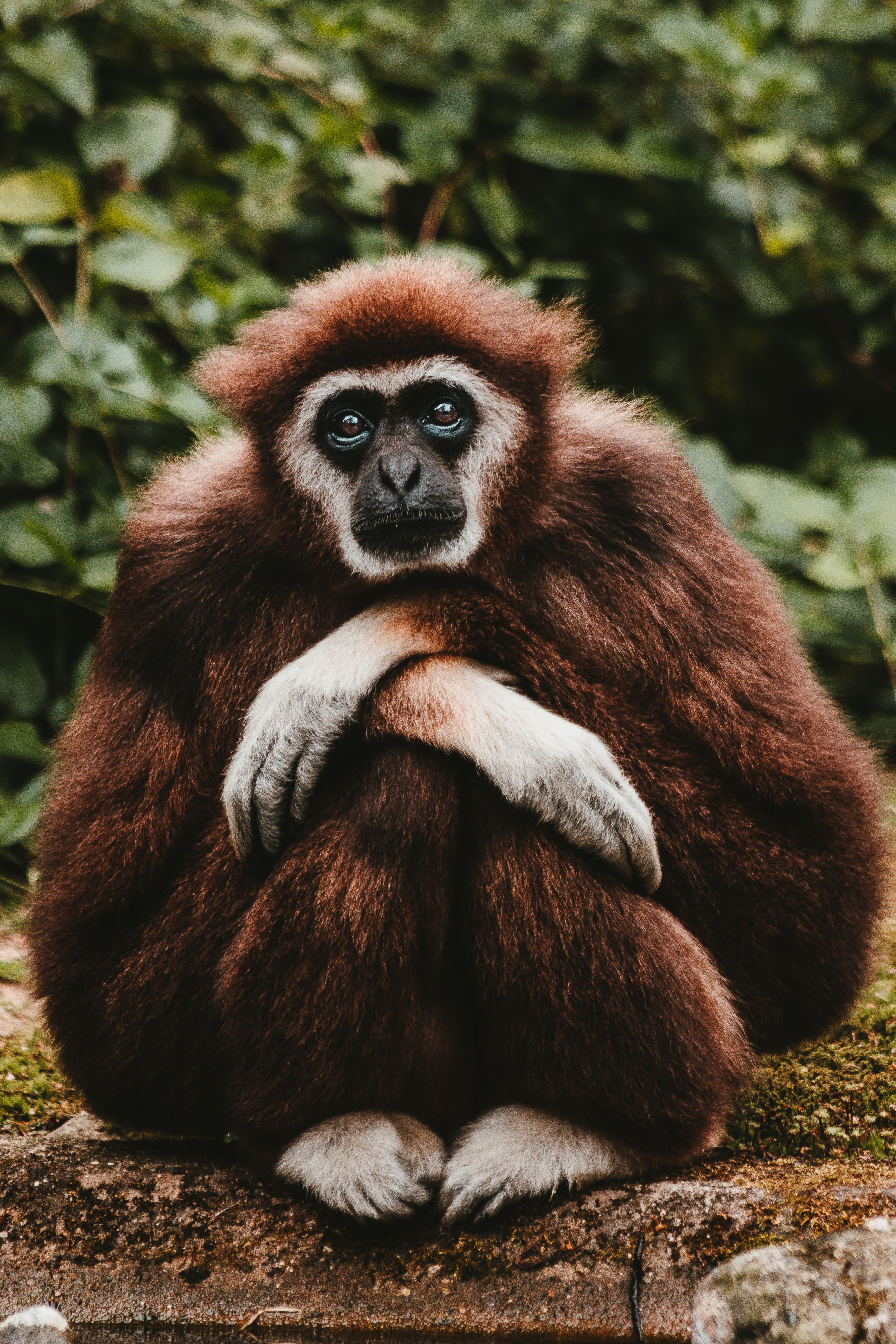 88774 download wallpaper Animals, Gibbon, Pensive, Is Sitting, Sits, Nice, Sweetheart screensavers and pictures for free