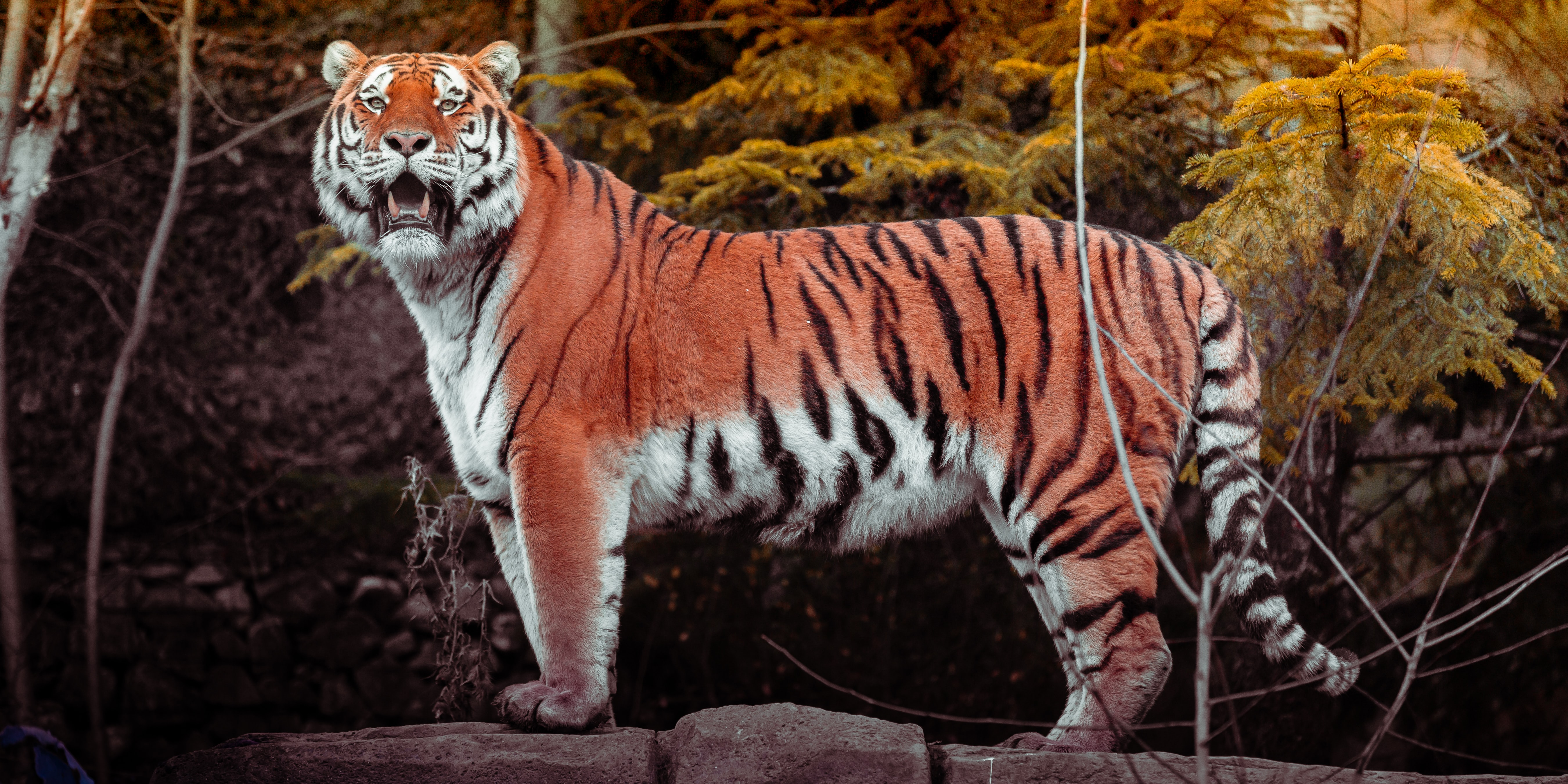 78782 download wallpaper Animals, Tiger, Animal, Big Cat, Predator, Brown, Wild screensavers and pictures for free