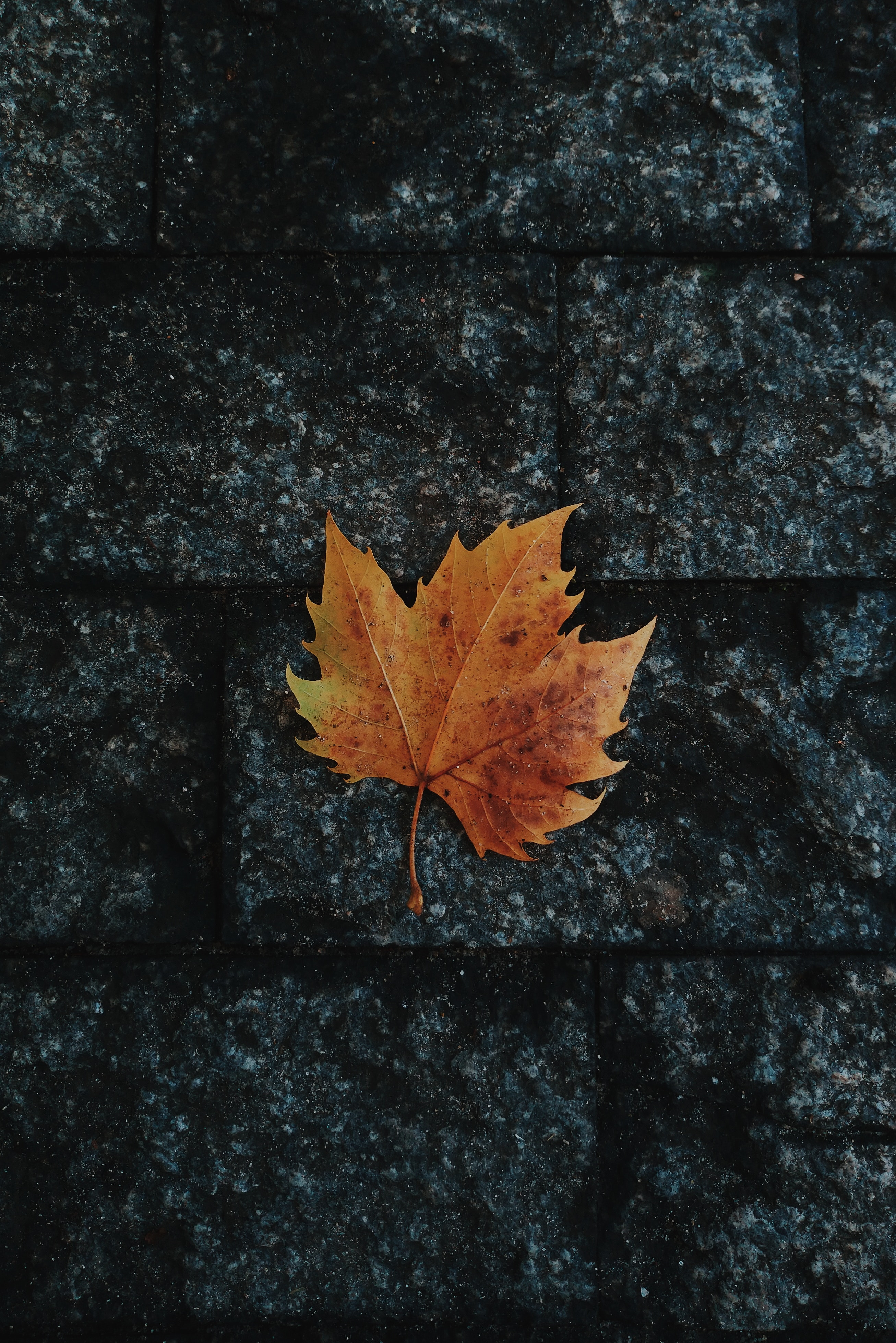 69110 download wallpaper Nature, Sheet, Leaf, Maple, Fallen, Autumn screensavers and pictures for free