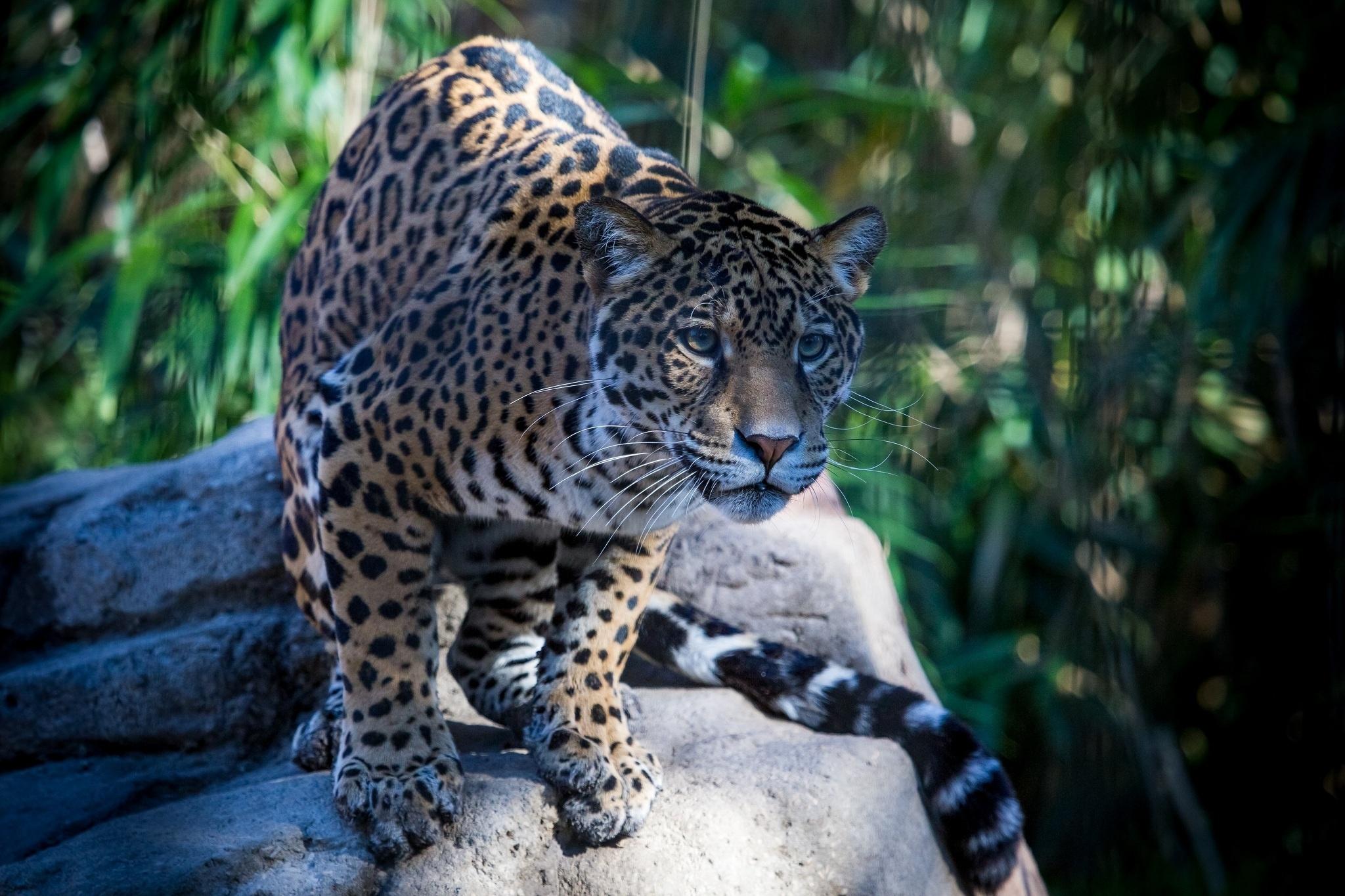 111459 download wallpaper Animals, Jaguar, Muzzle, Predator, Wild Cat, Wildcat screensavers and pictures for free