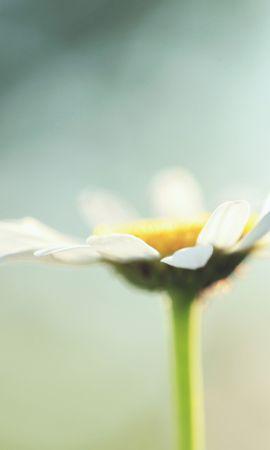 47457 télécharger le fond d'écran Plantes, Fleurs, Camomille - économiseurs d'écran et images gratuitement