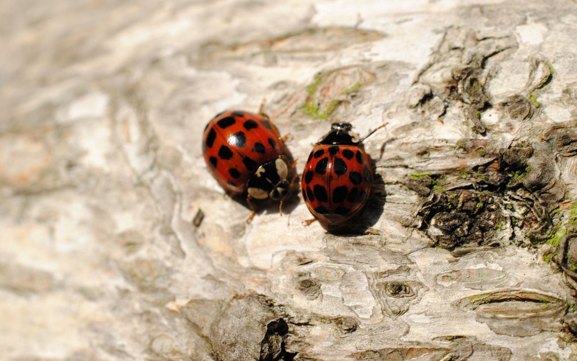 98604 download wallpaper Macro, Ladybugs, Sit, Couple, Pair, Insects screensavers and pictures for free