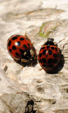 98604 Screensavers and Wallpapers Insects for phone. Download Macro, Ladybugs, Sit, Couple, Pair, Insects pictures for free