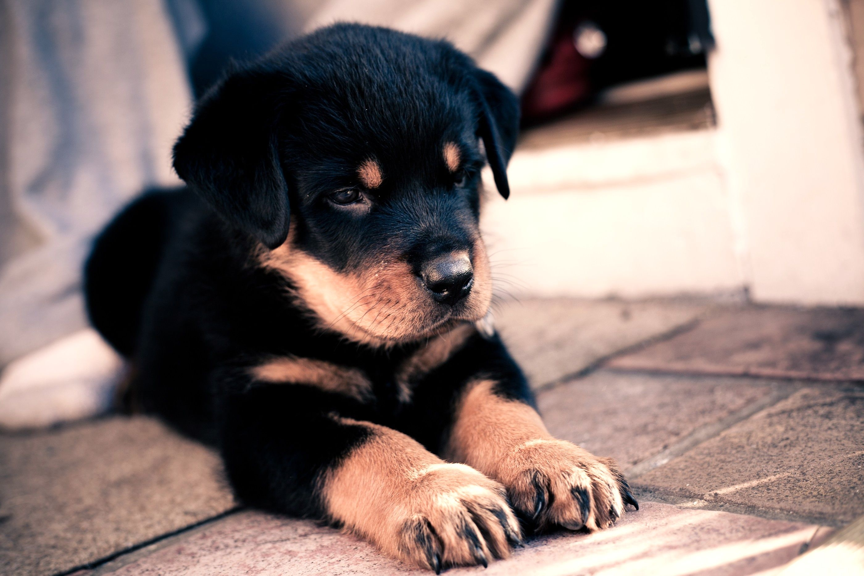 59566 Screensavers and Wallpapers Puppy for phone. Download Animals, Nice, Sweetheart, Puppy, Kid, Tot, Rottweiler pictures for free