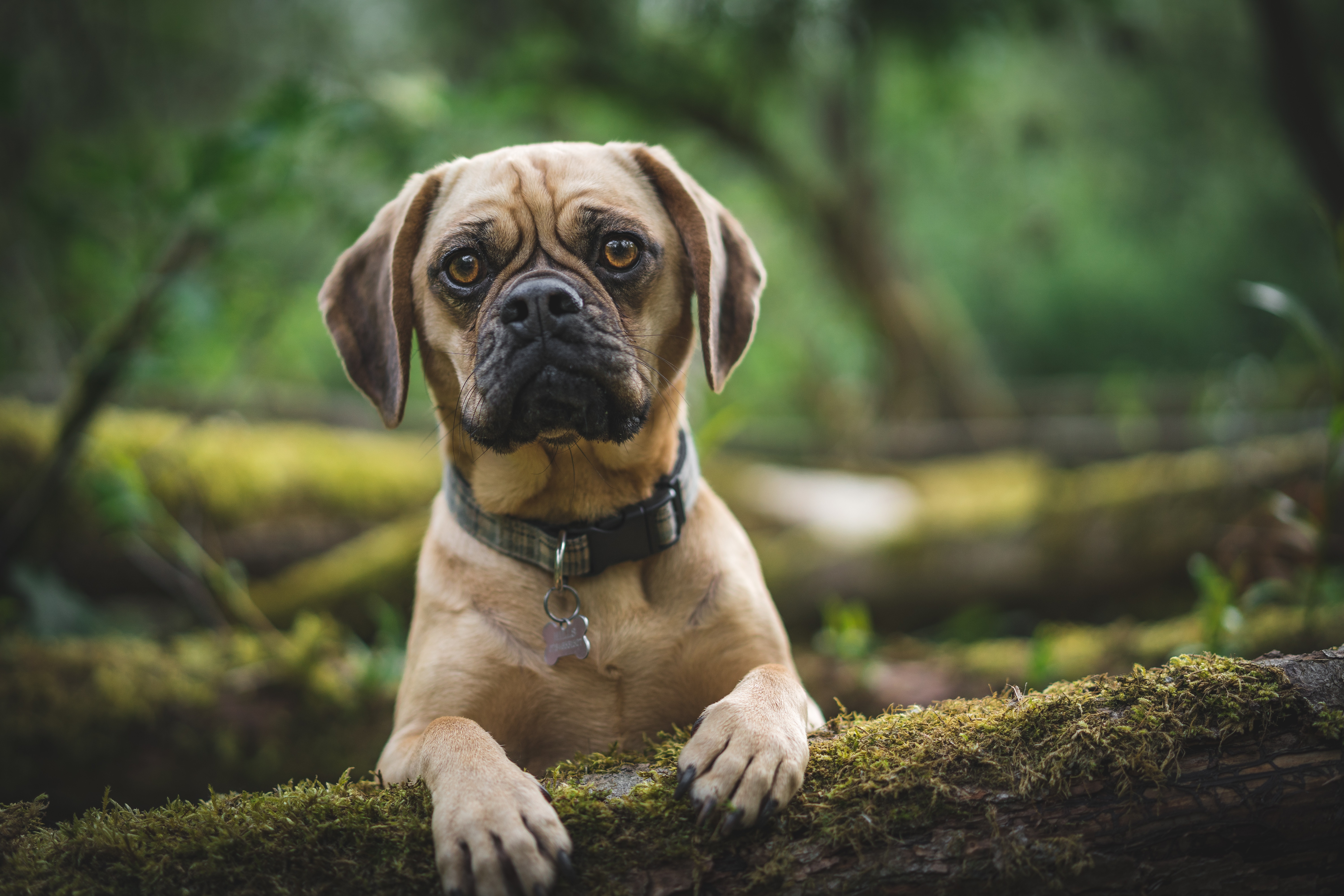 73269 download wallpaper Animals, Pug, Dog, Pet, Sight, Opinion, Sad screensavers and pictures for free