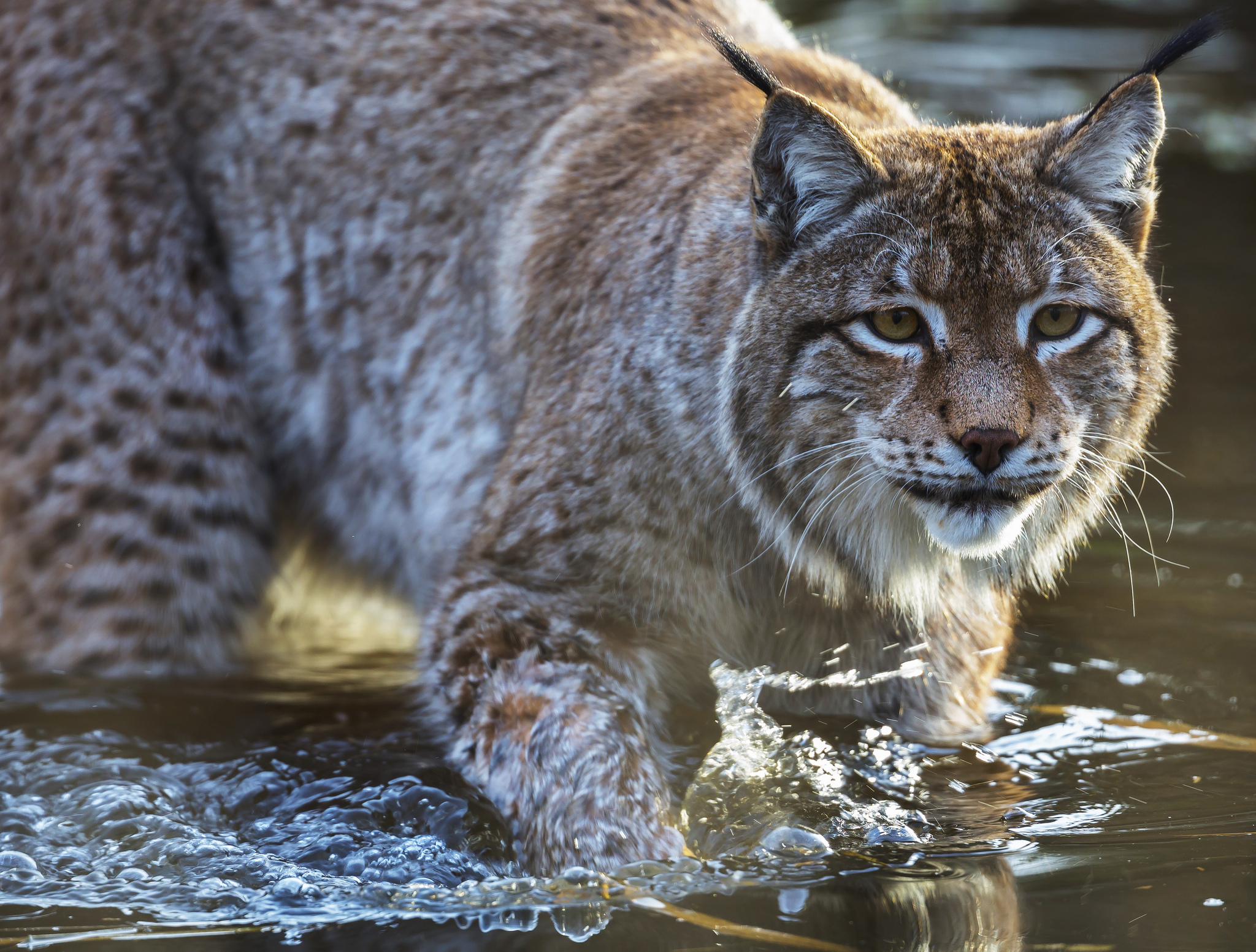 71046 download wallpaper Animals, Water, Iris, Muzzle, Predator screensavers and pictures for free