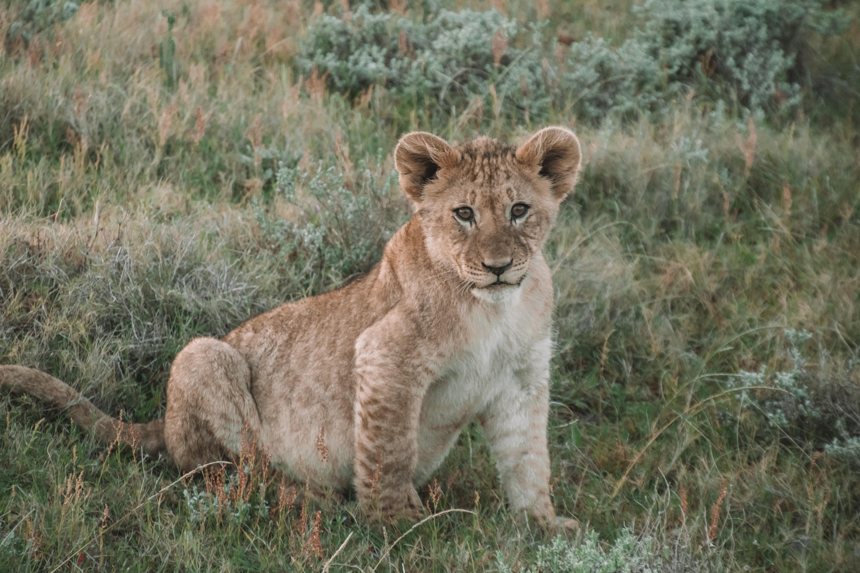 98463 скачать обои Животные, Лев, Львенок, Детеныш, Животное, Дикая Природа - заставки и картинки бесплатно