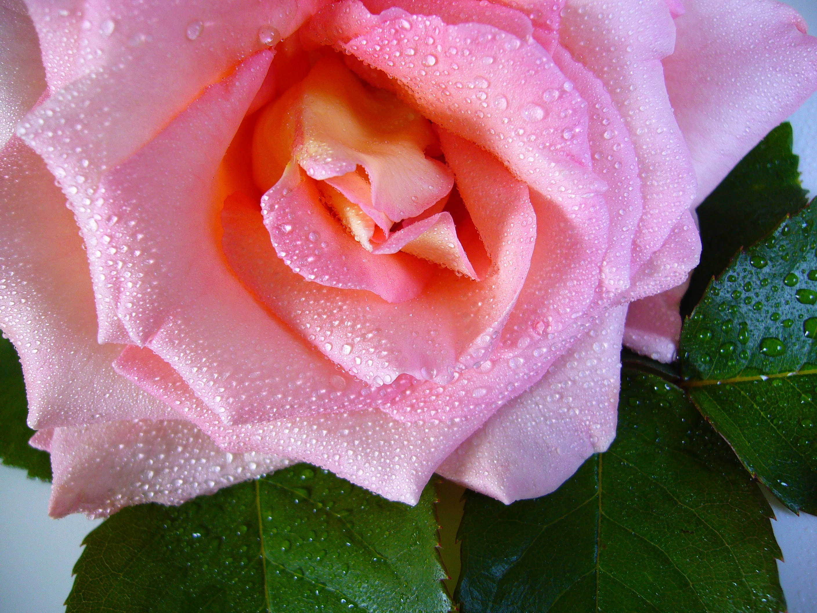 64879 download wallpaper Macro, Rose Flower, Rose, Flower, Drops, Dew, Bud screensavers and pictures for free