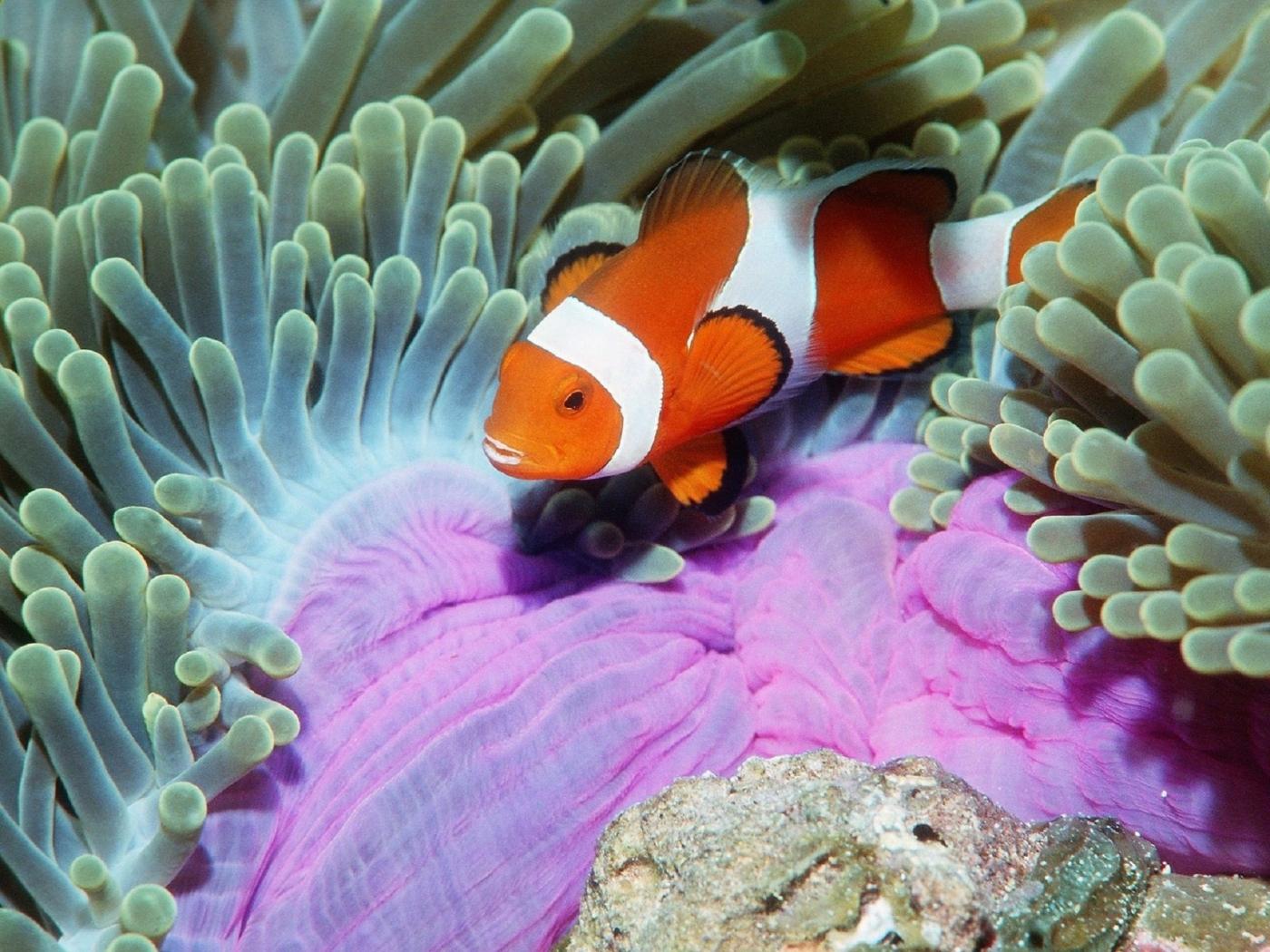 24708 скачать обои Животные, Море, Рыбы-Клоуны - заставки и картинки бесплатно