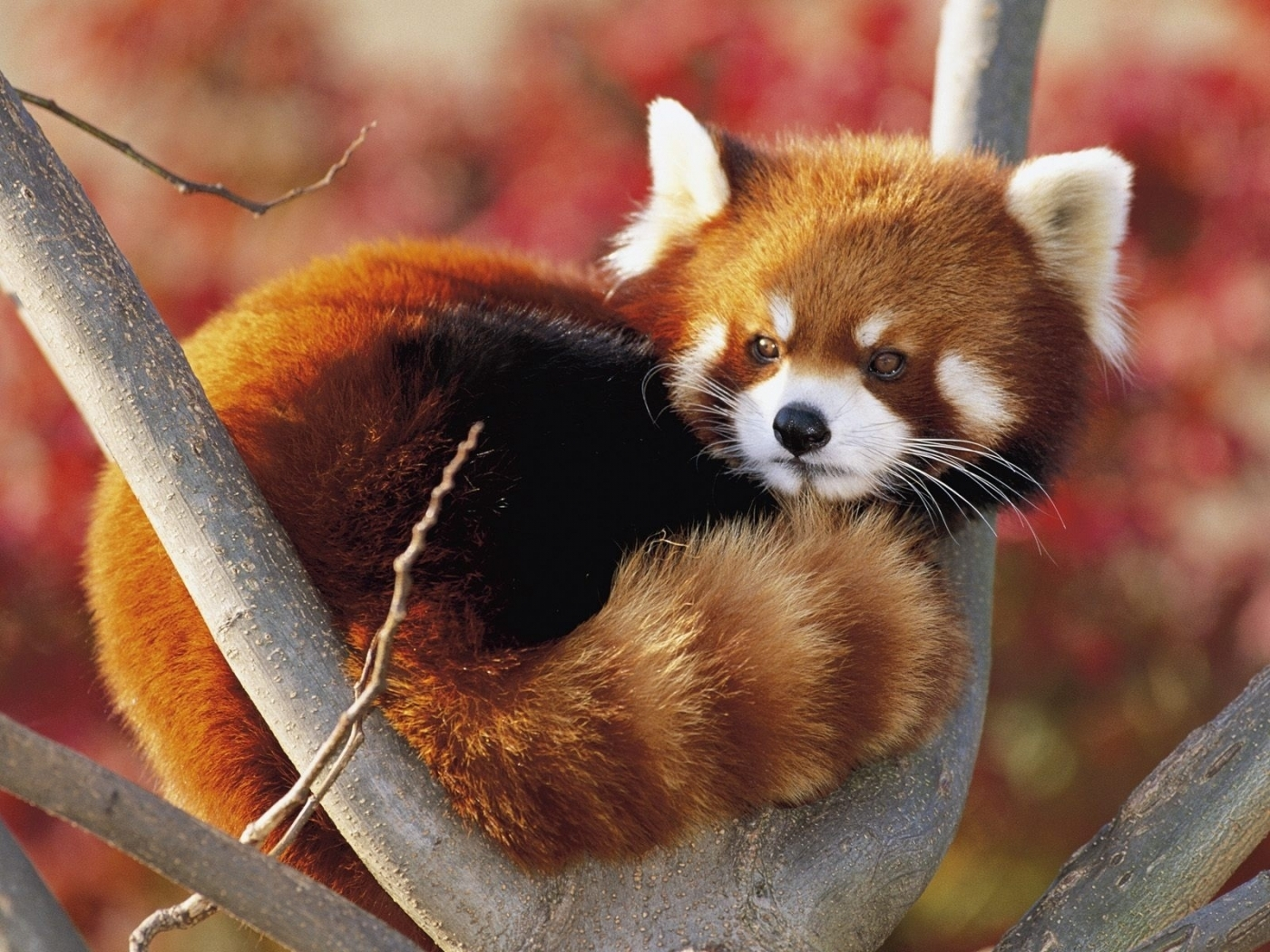 23667 download wallpaper Animals, Pandas screensavers and pictures for free