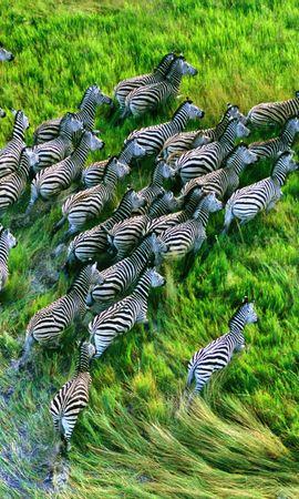 153816 download wallpaper Animals, Herd, Grass, Run Away, Run, Zebra screensavers and pictures for free
