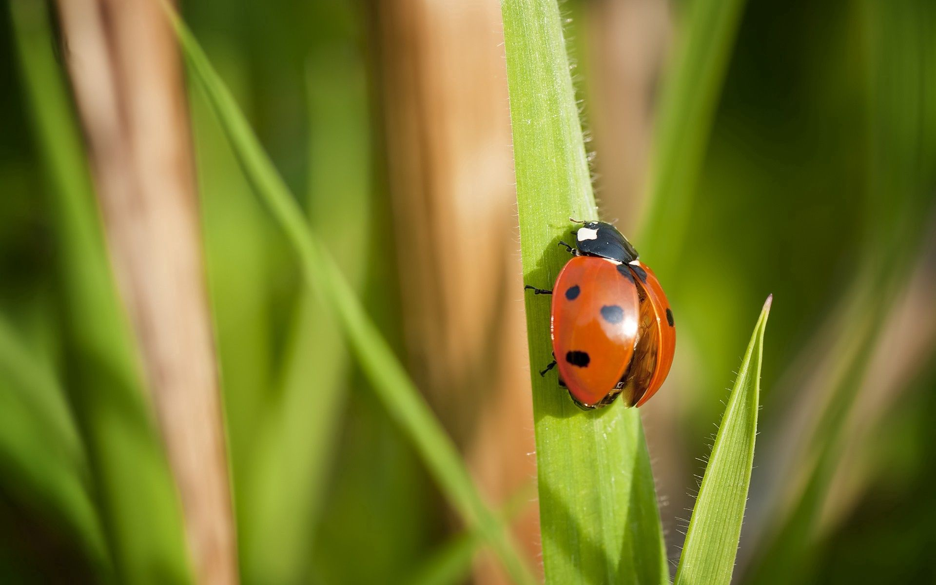 111799 Hintergrundbild herunterladen Grass, Marienkäfer, Makro, Insekt, Flügel, Ladybird - Bildschirmschoner und Bilder kostenlos