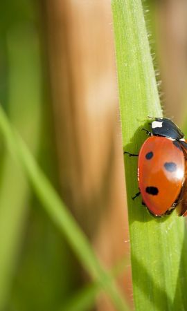 お使いの携帯電話の111799スクリーンセーバーと壁紙昆虫。 大きい, マクロ, てんとう虫, 天道虫, 草, 翼, 昆虫の写真を無料でダウンロード