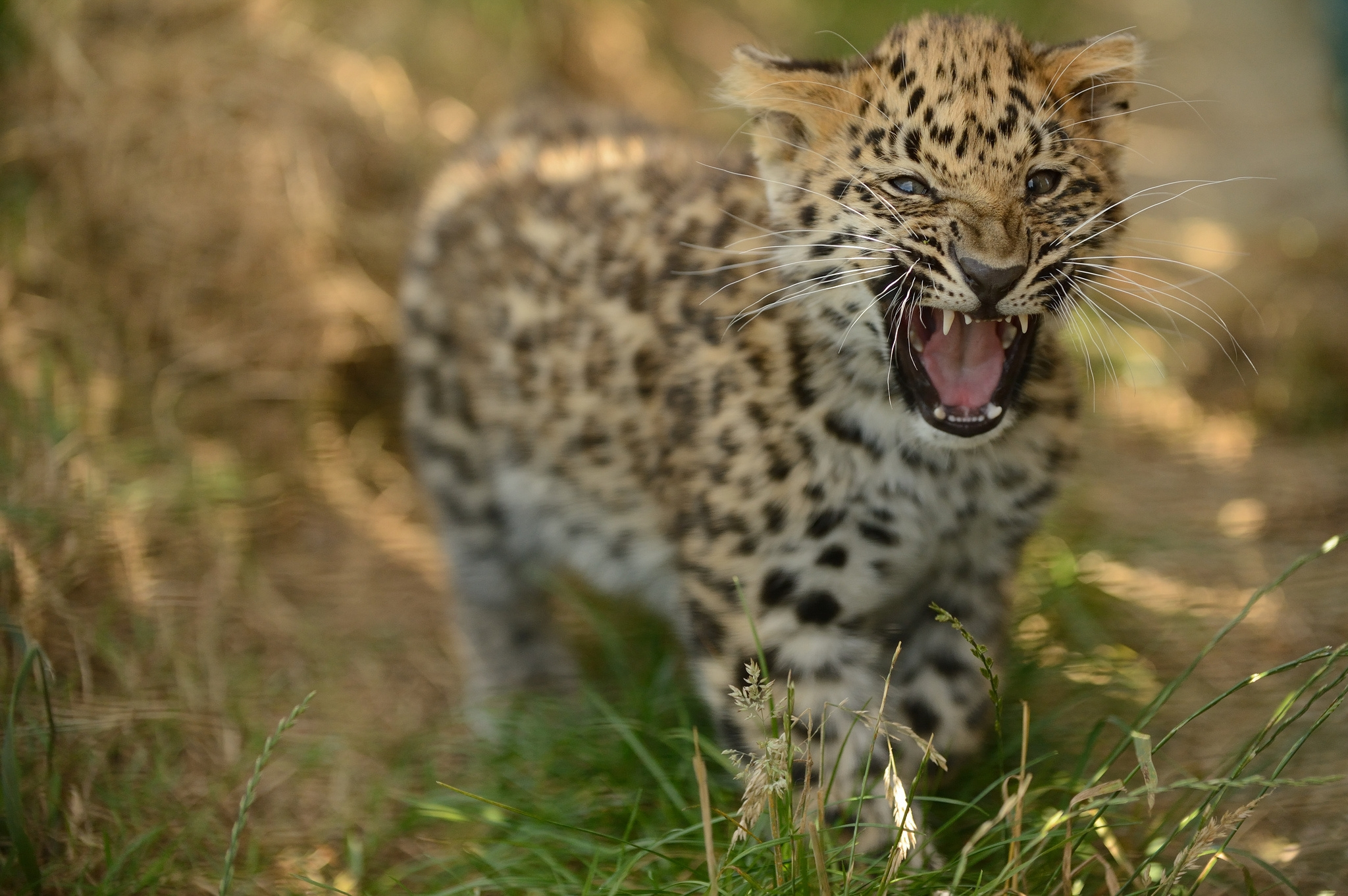 142875 download wallpaper Animals, Leopard, Young, Joey, Grass, Stroll, Big Cat, Predator, Grin, Aggression screensavers and pictures for free