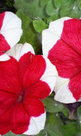 1803 descargar fondo de pantalla Plantas, Flores, Enredadera: protectores de pantalla e imágenes gratis