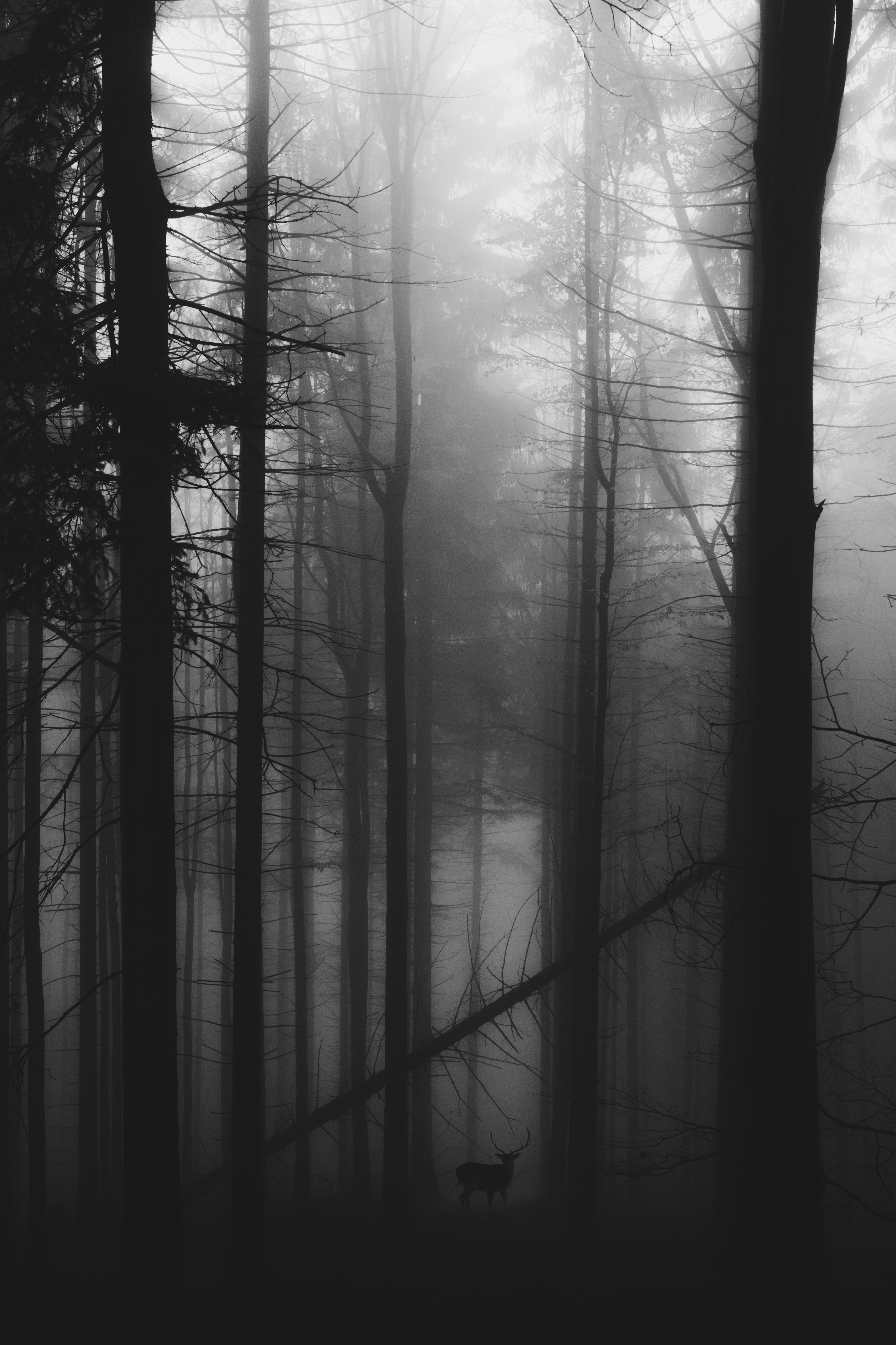 53849 download wallpaper Forest, Fog, Bw, Chb, Gloomy, Deer screensavers and pictures for free