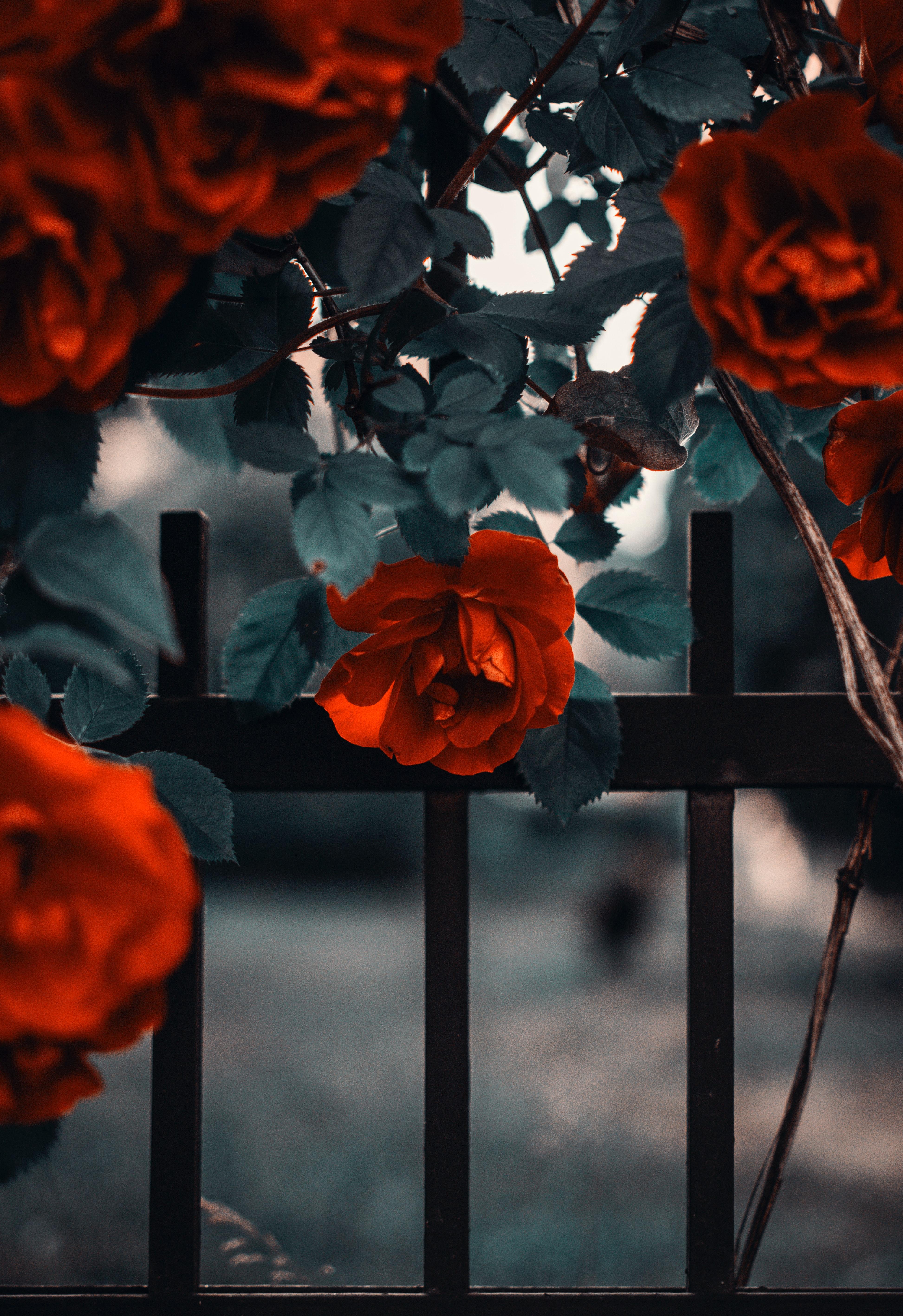 81592 скачать обои Красный, Цветы, Роза, Забор, Куст, Сад - заставки и картинки бесплатно