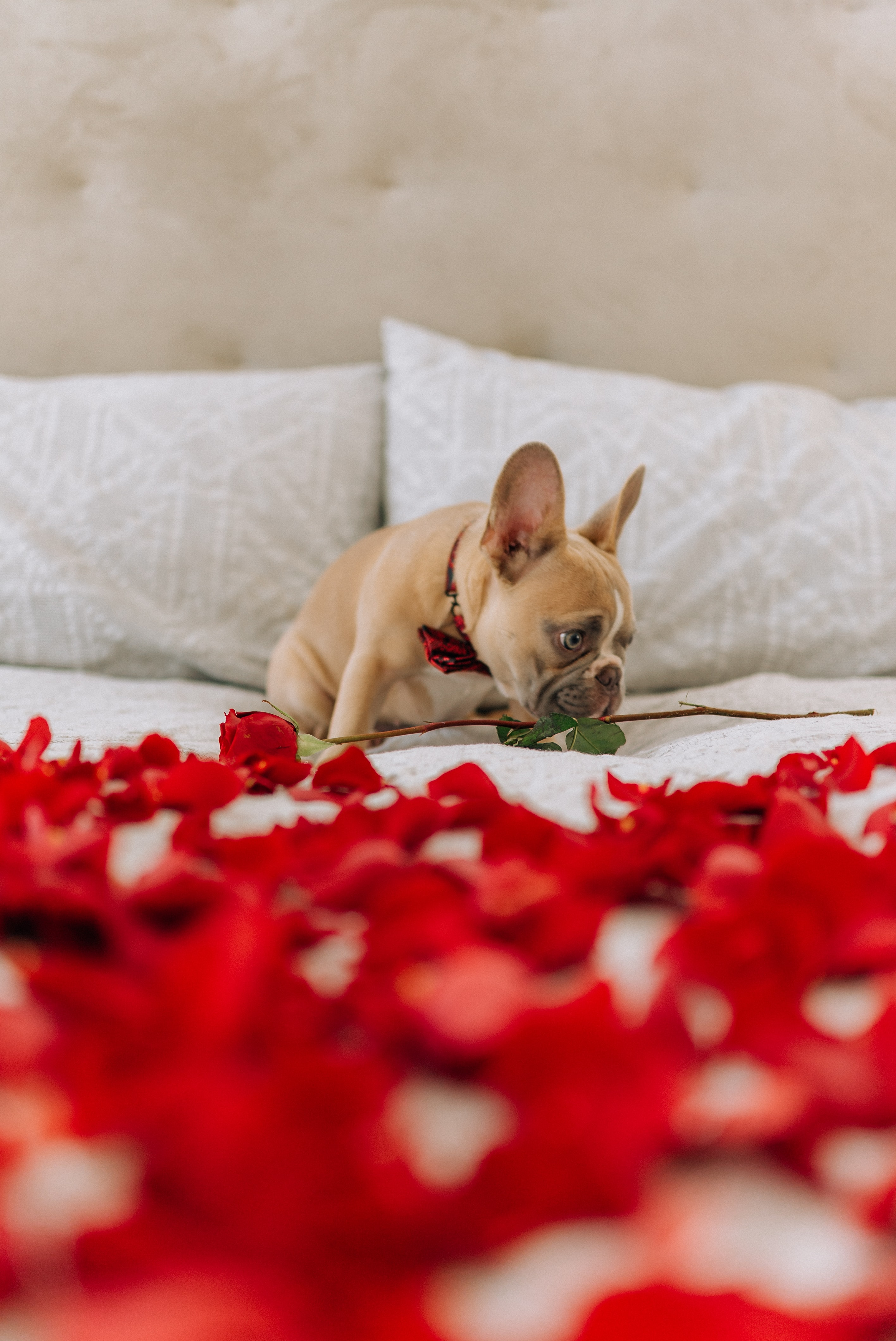 104814 Screensavers and Wallpapers Pug for phone. Download Animals, Rose Flower, Rose, Petals, Dog, Nice, Sweetheart, Pug pictures for free