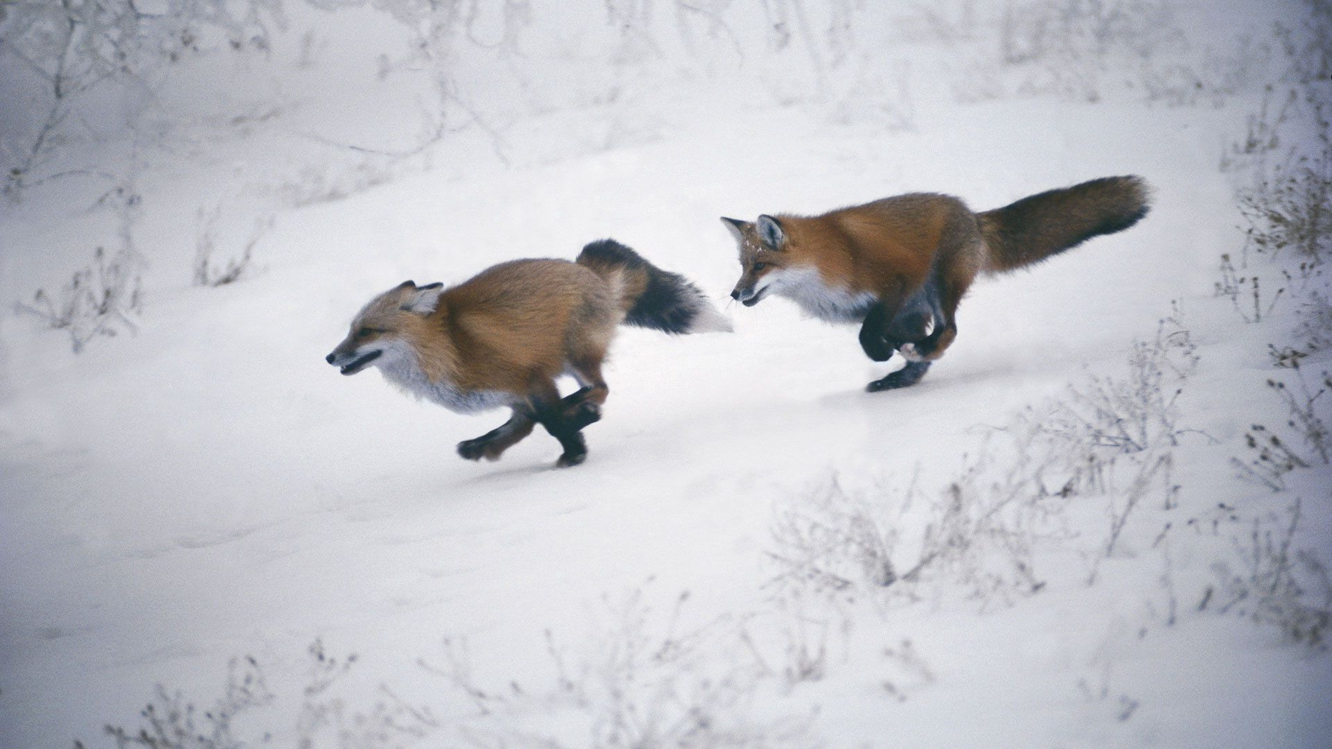 115956 Screensavers and Wallpapers Fox for phone. Download Animals, Winter, Trees, Snow, Fox, Speed, Slope pictures for free