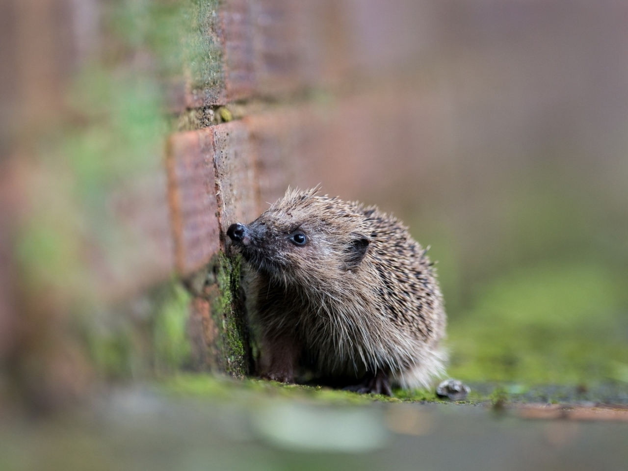 15682 download wallpaper Animals, Hedgehogs screensavers and pictures for free
