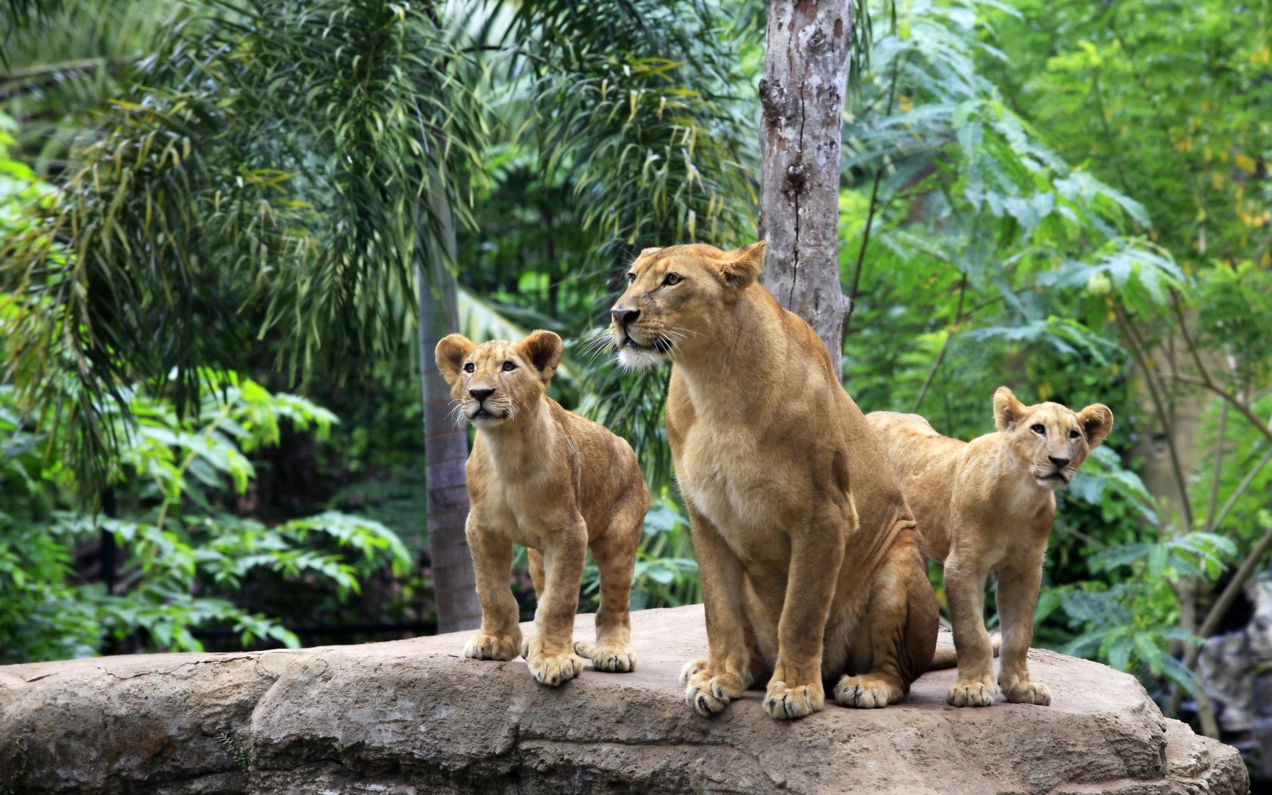 119511 download wallpaper Animals, Couple, Pair, Forest, Stones, Lions screensavers and pictures for free